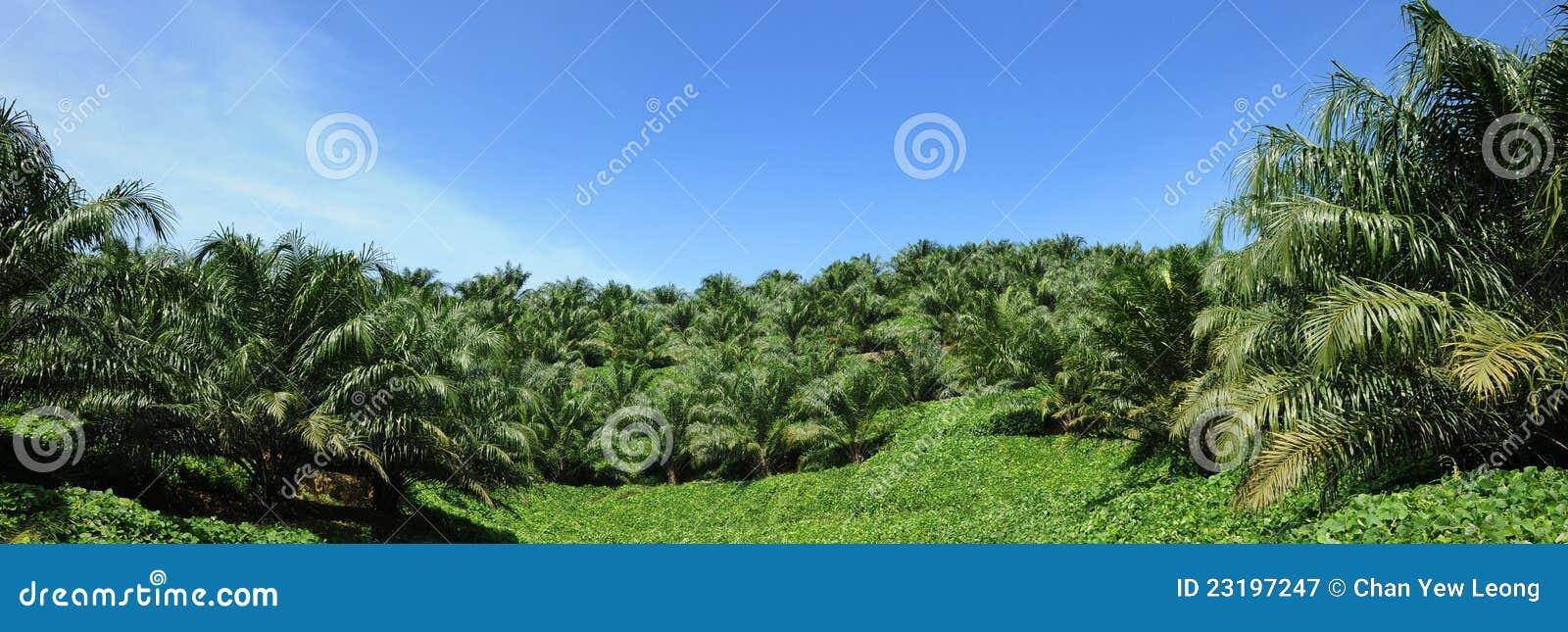 Pianta della palma da olio