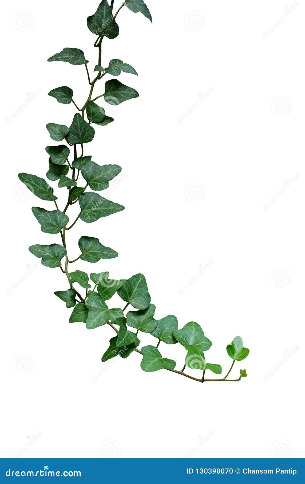 Edera Pianta Da Interno pianta della vite rampicante dell'edera delle foglie verdi