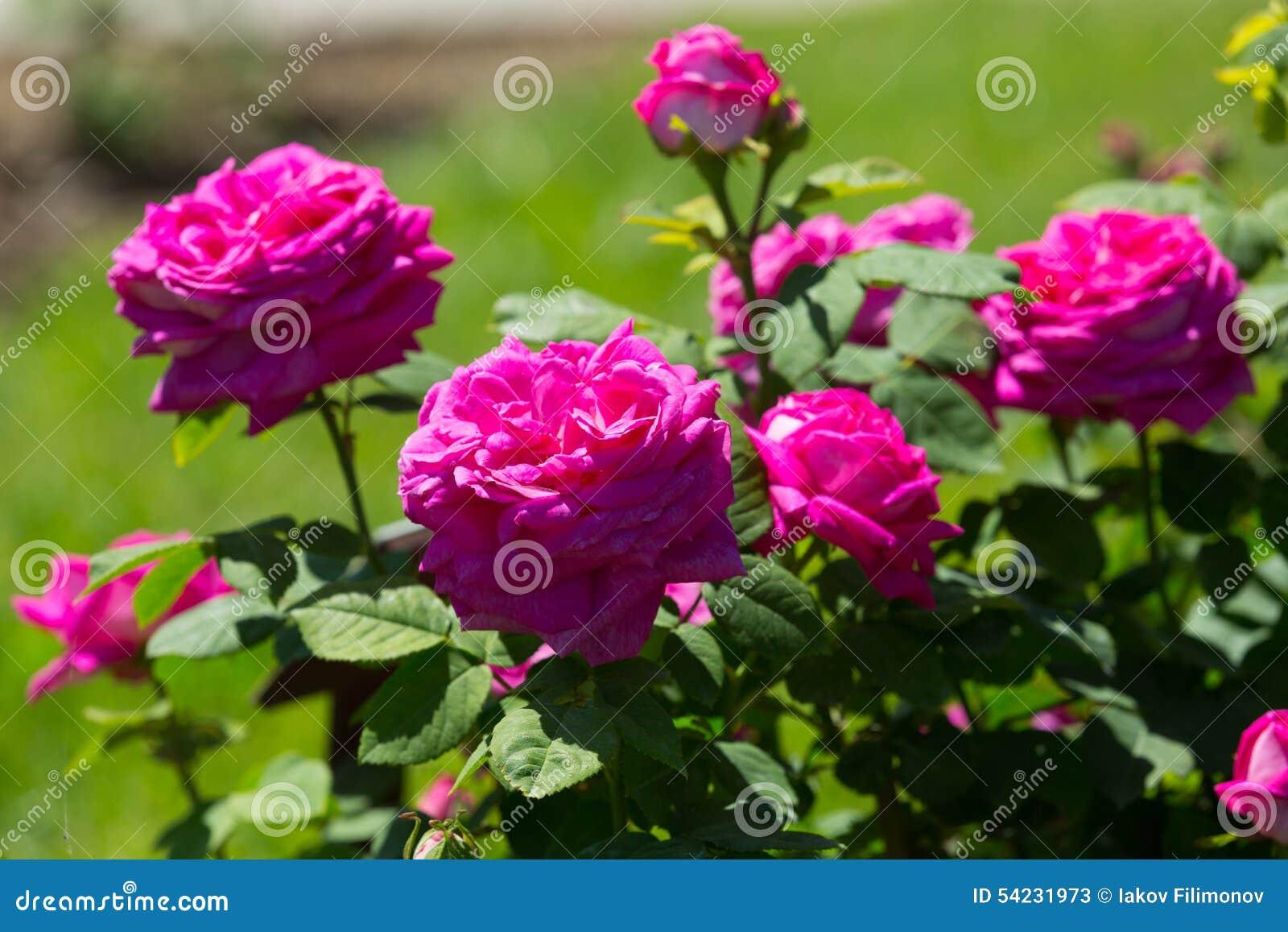 Pianta delle rose di rosa in primavera fotografia stock for Pianta rosa