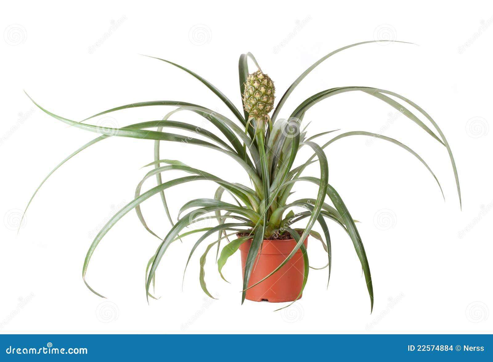 Pianta di ananas fotografia stock immagine di sugoso for Pianta ananas