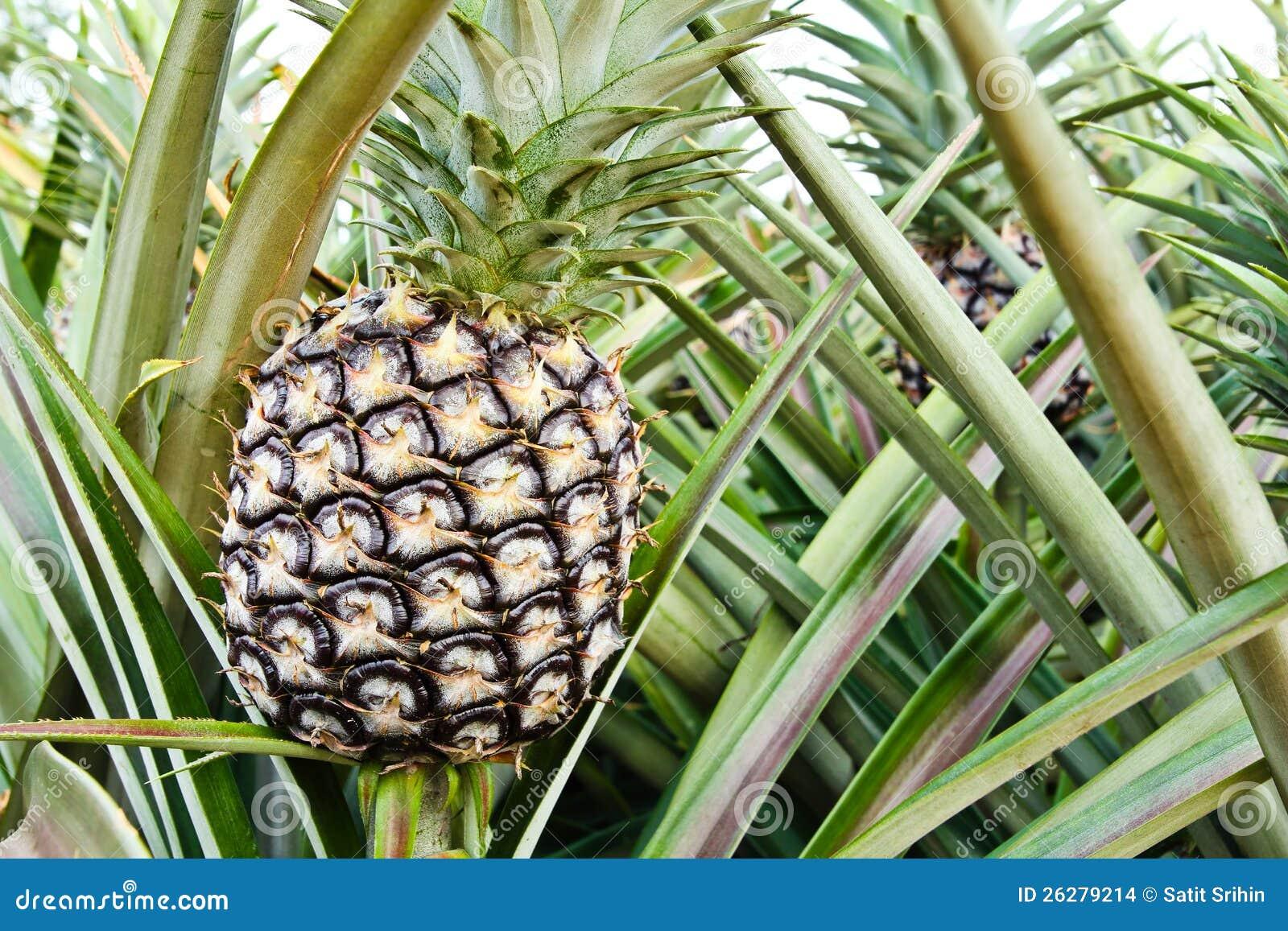 Pianta di ananas immagini stock immagine 26279214 for Pianta di more