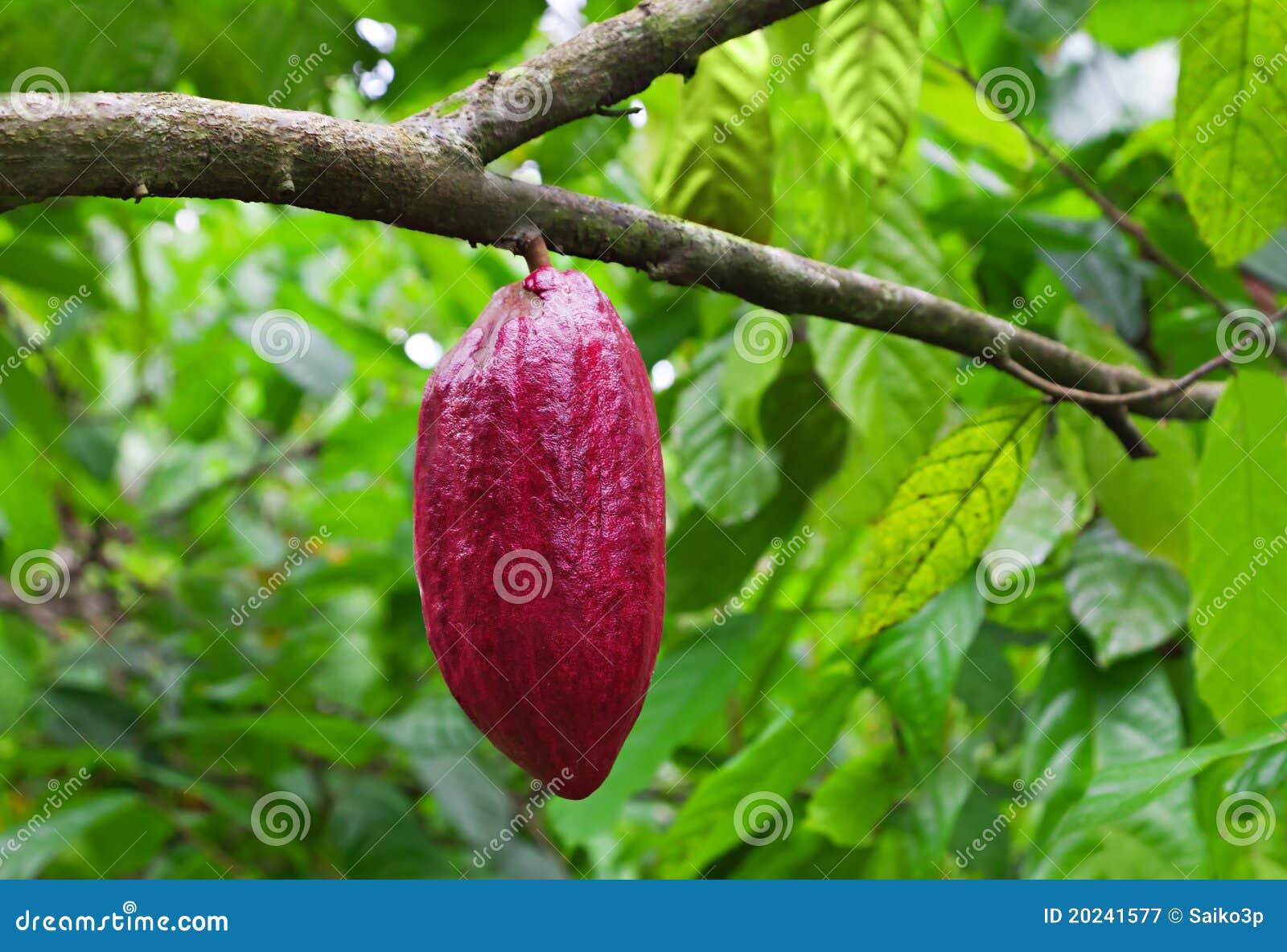 Pianta di cacao con i baccelli fotografia stock libera da for Pianta di more
