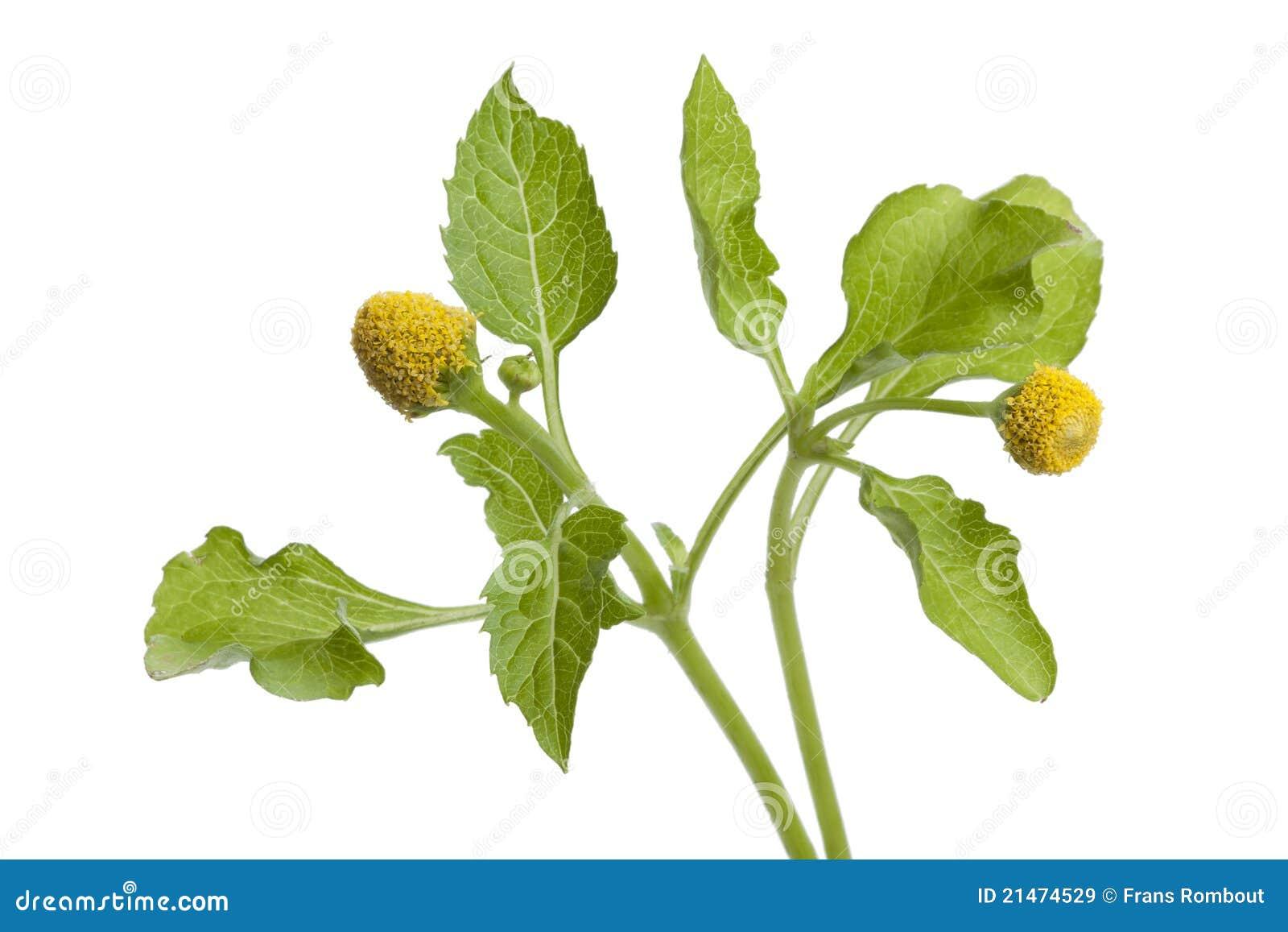 Pianta di crescione fresca di para immagini stock libere for Pianta di more