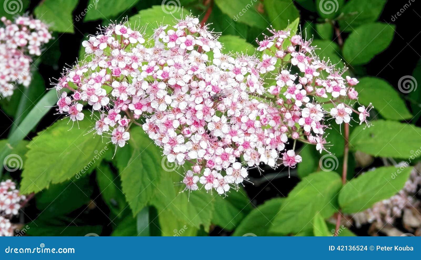 Pianta di estate durante i lill di fioritura fotografia for Pianta di more