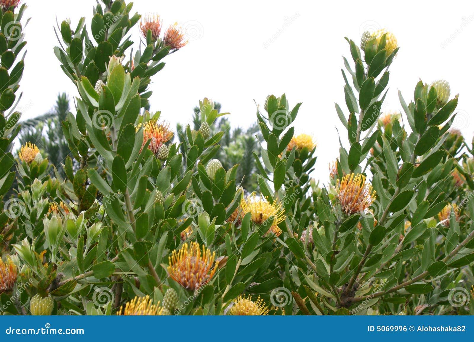 Pianta di fioritura del protea immagine stock libera da for Pianta di more