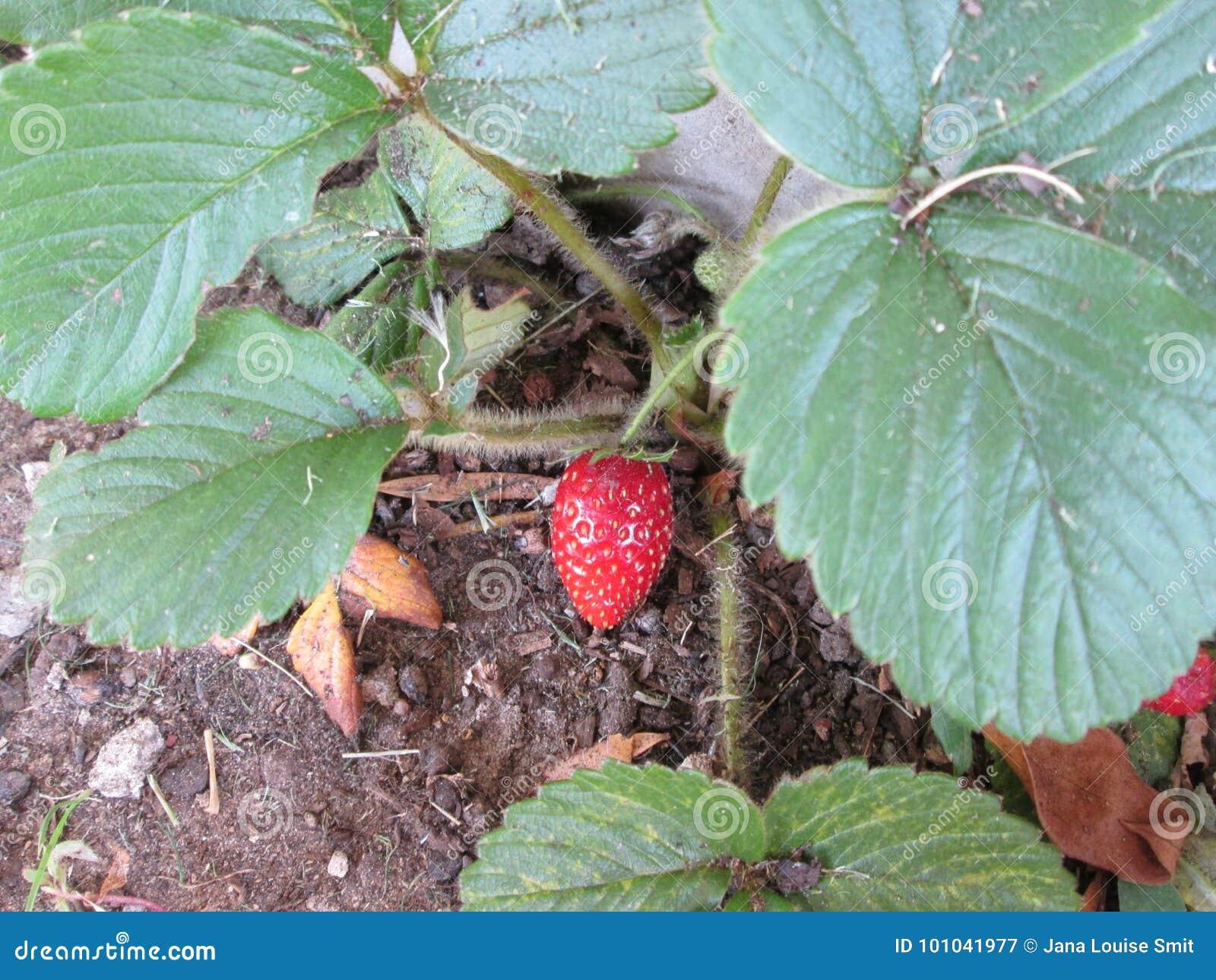 Pianta di fragola con frutta matura immagine stock for Pianta fragole