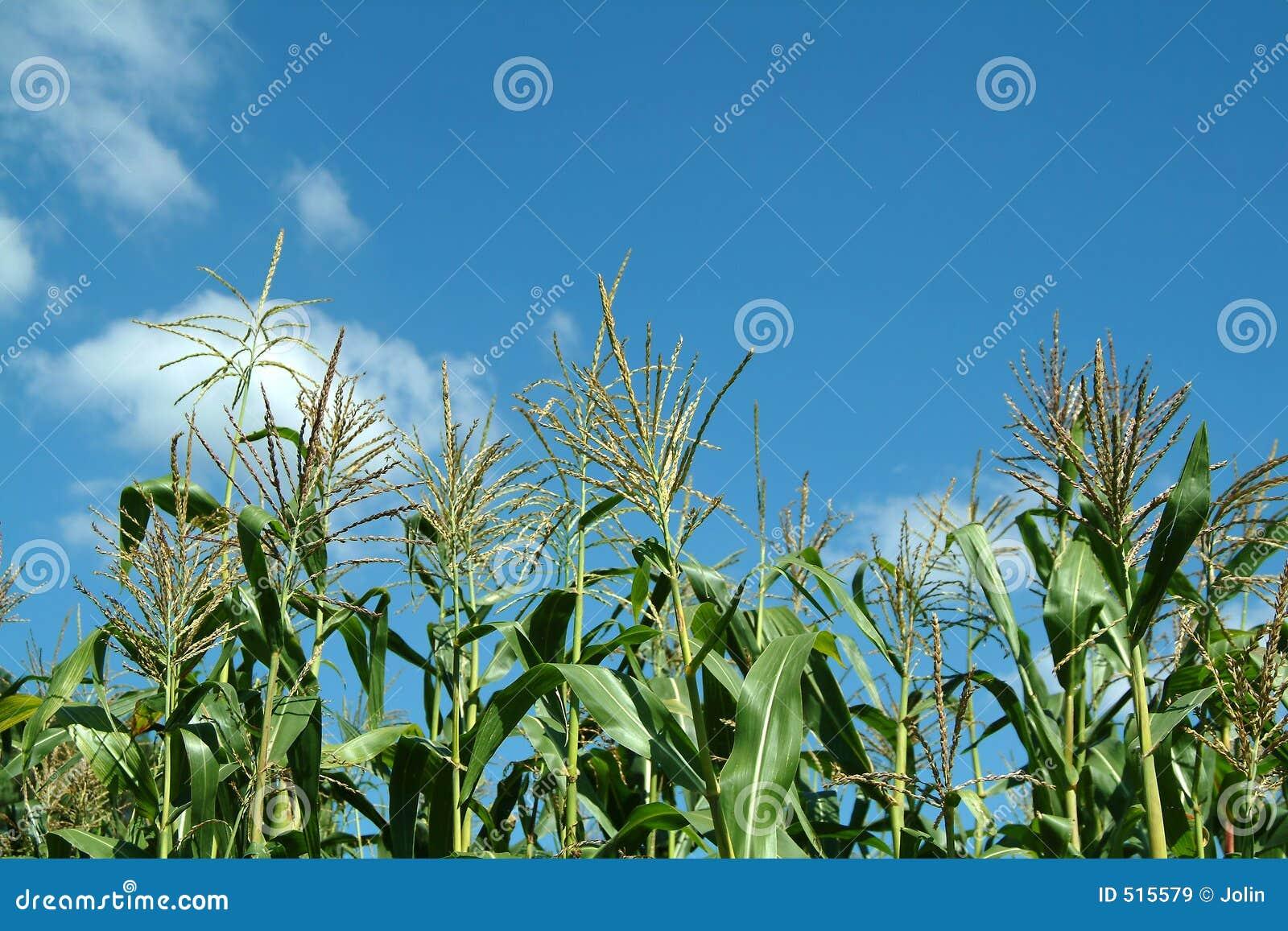 Pianta di mais immagini stock libere da diritti immagine for Pianta di more