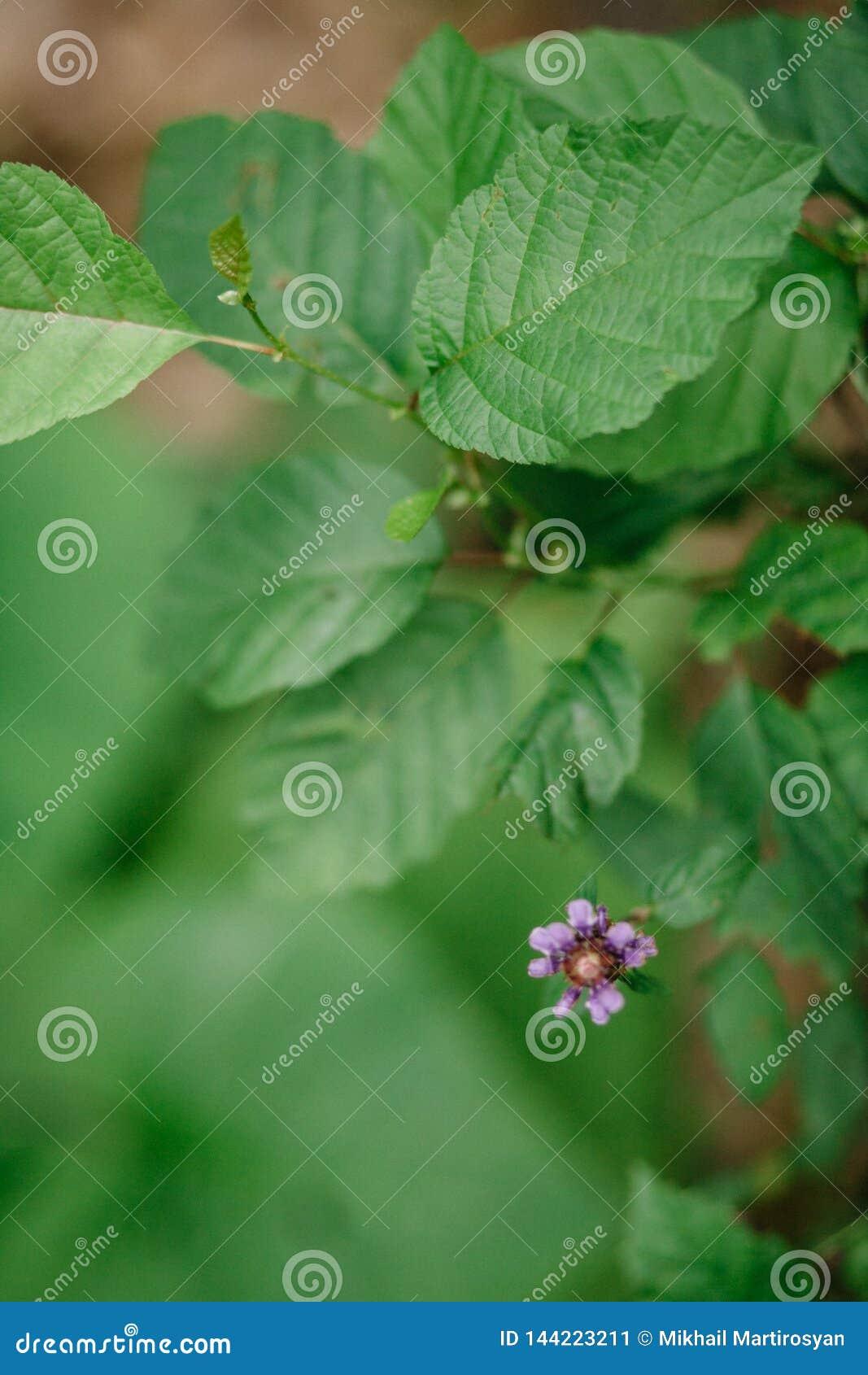 Pianta di odoratus del Rubus lampone Porpora-fiorito della Virginia o del lampone