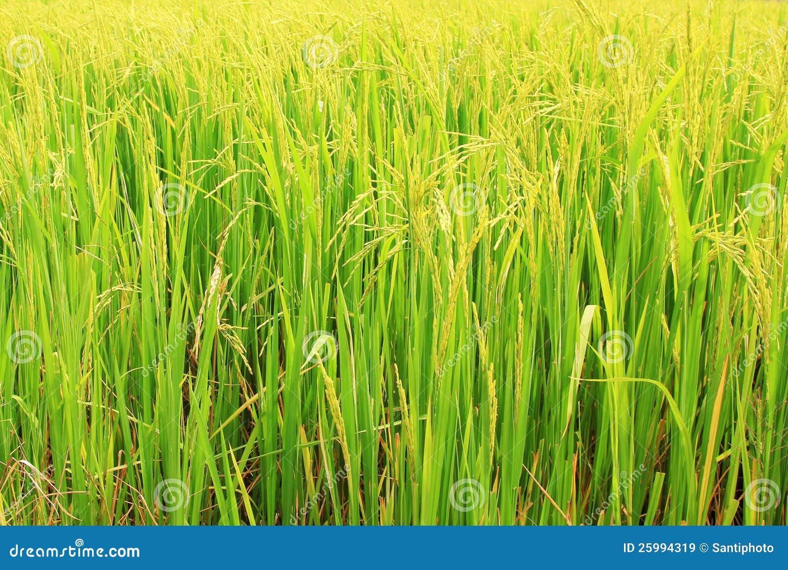 Pianta di riso immagini stock libere da diritti immagine for Pianta di more