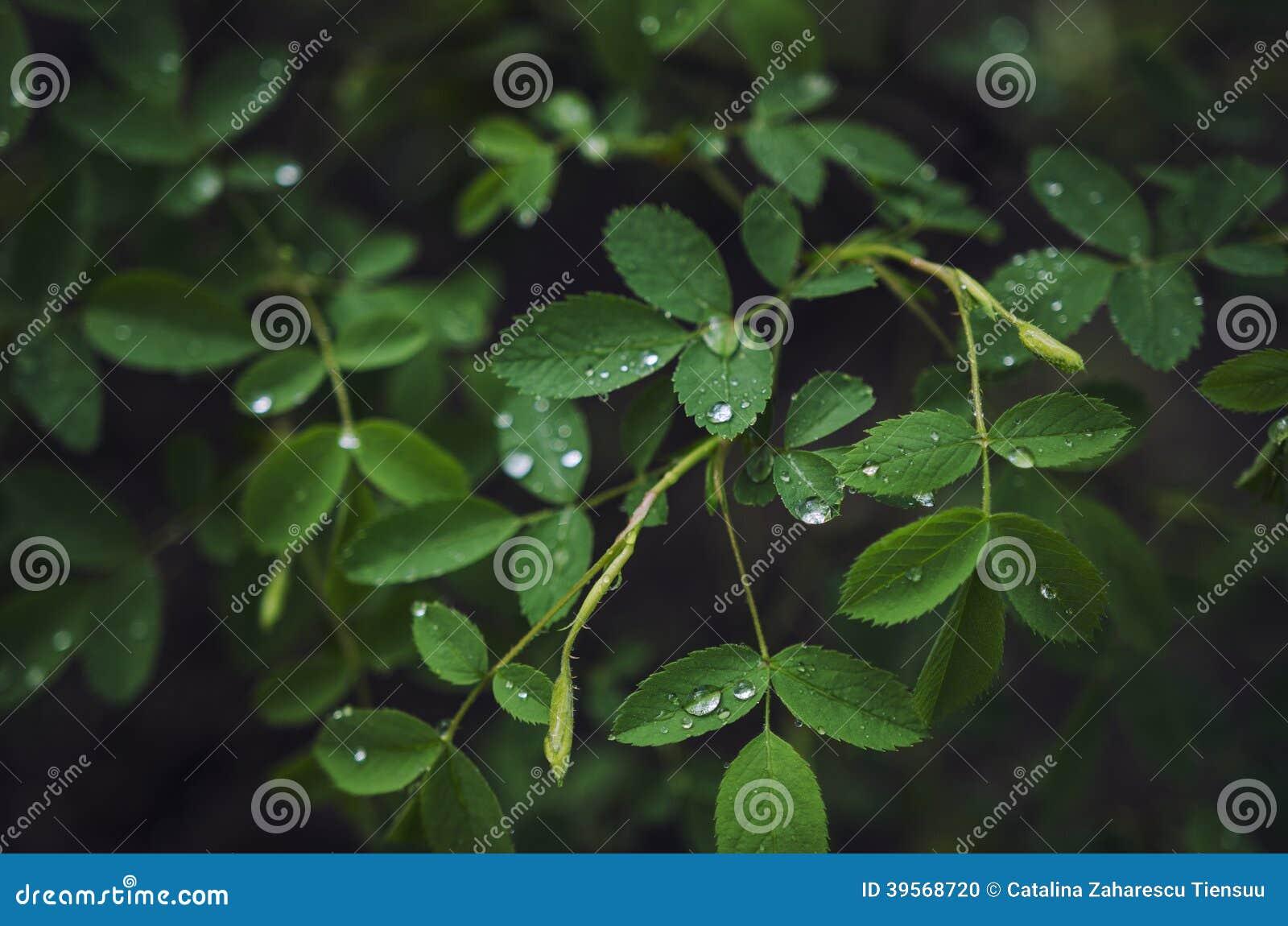 Pianta di rosa nella pioggia fotografia stock immagine for Rosa pianta