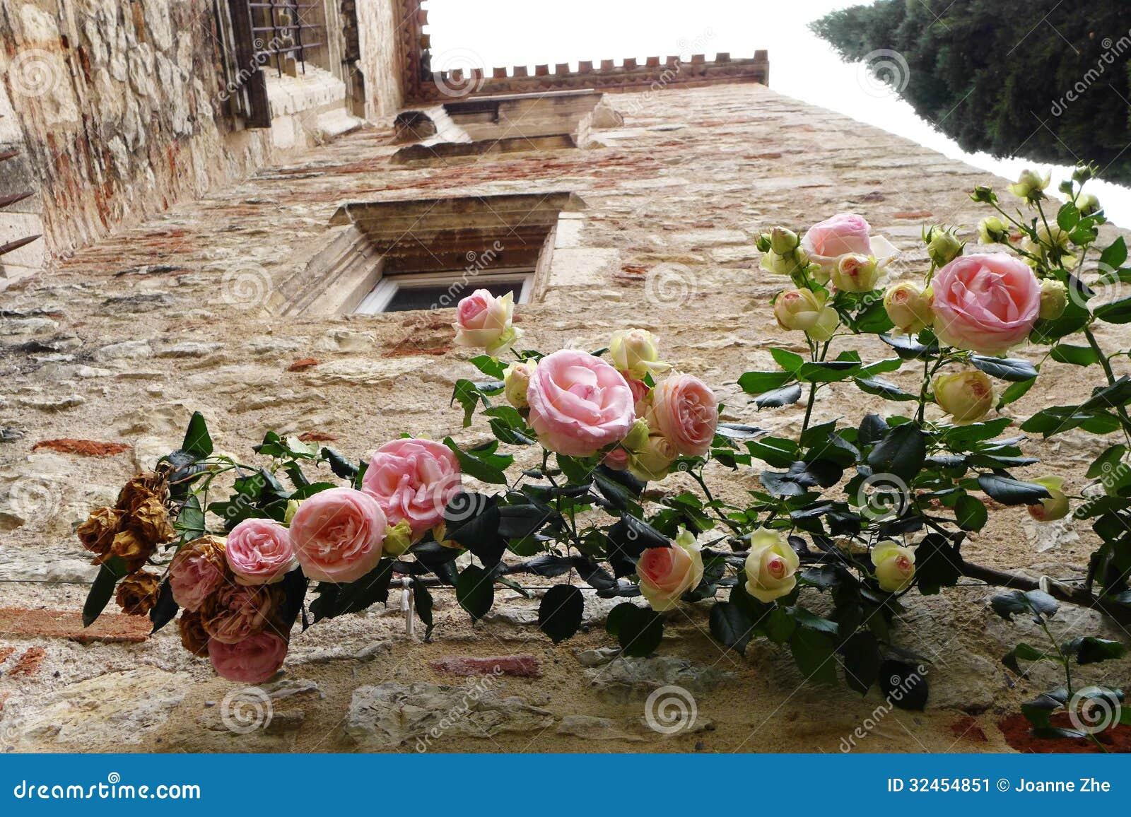 Pianta Di Rosa Sulla Parete Antica Immagine Stock ...