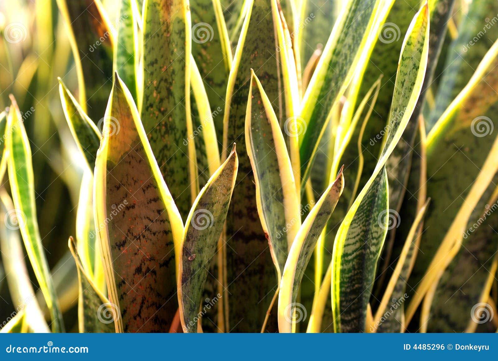 Pianta di serpente immagine stock libera da diritti for Pianta di more