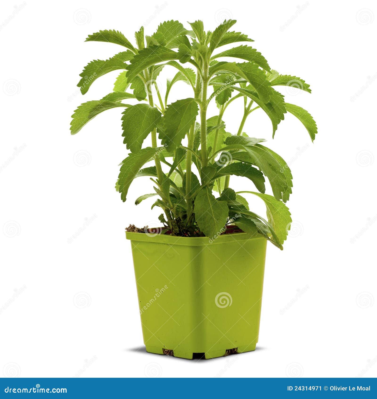 Pianta di stevia in un bucklet immagine stock immagine for Stevia pianta