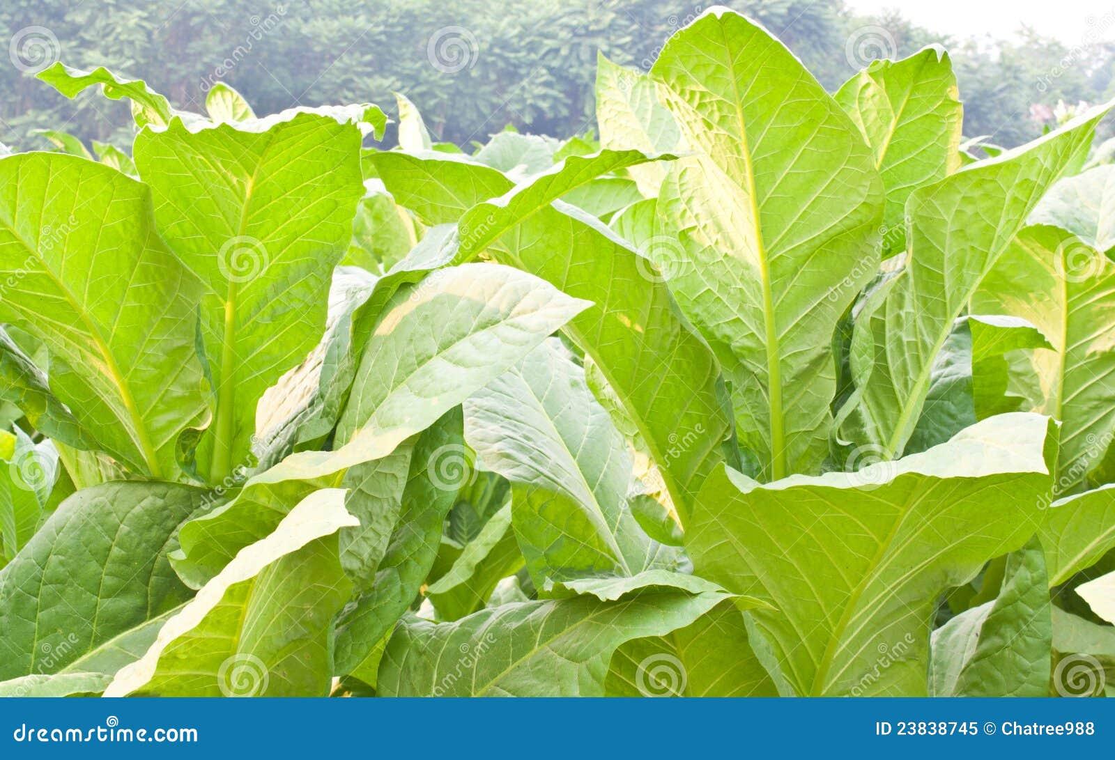 Pianta di tabacco fotografia stock libera da diritti for Pianta di more
