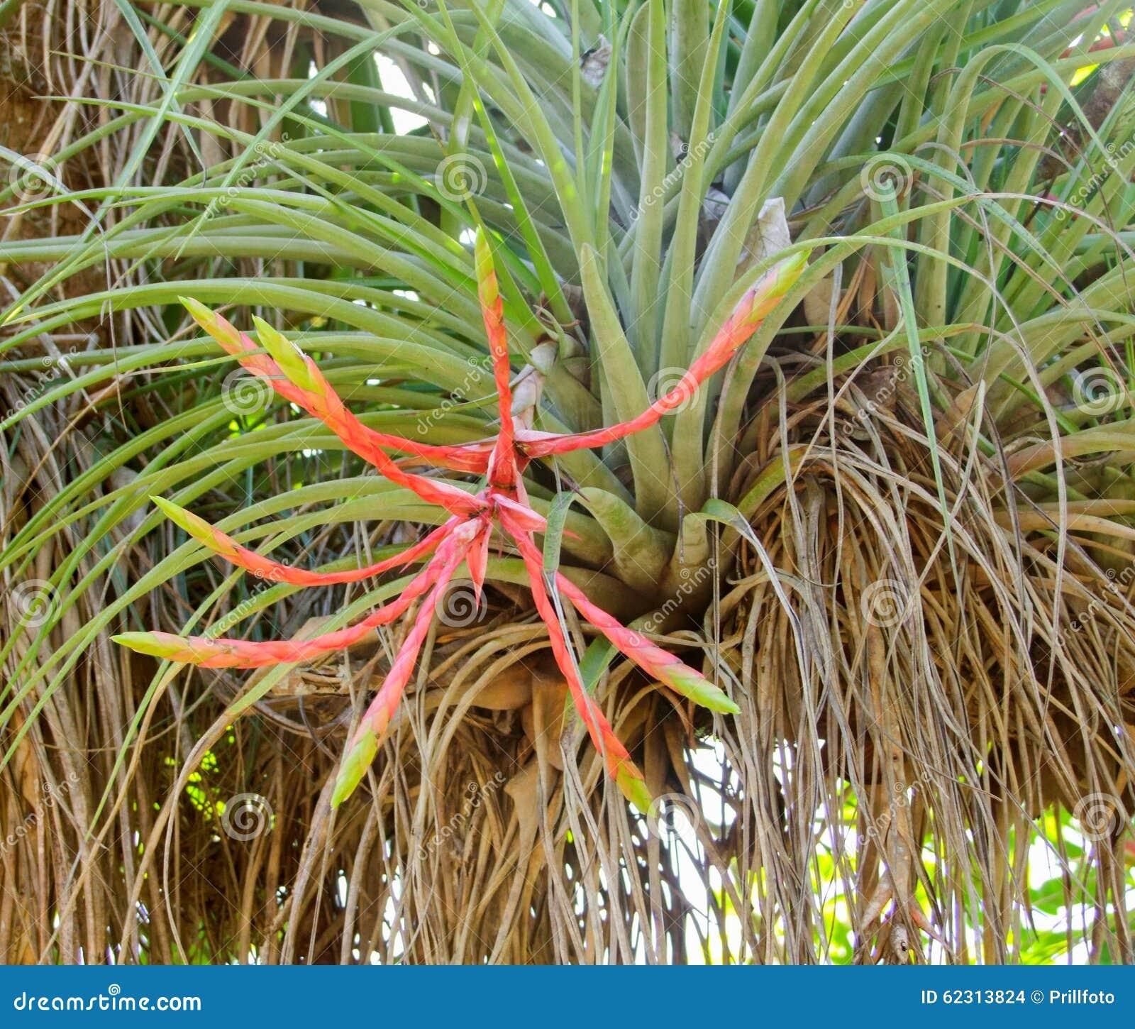 Pianta di tillandsia fotografia stock immagine di for Tillandsia pianta