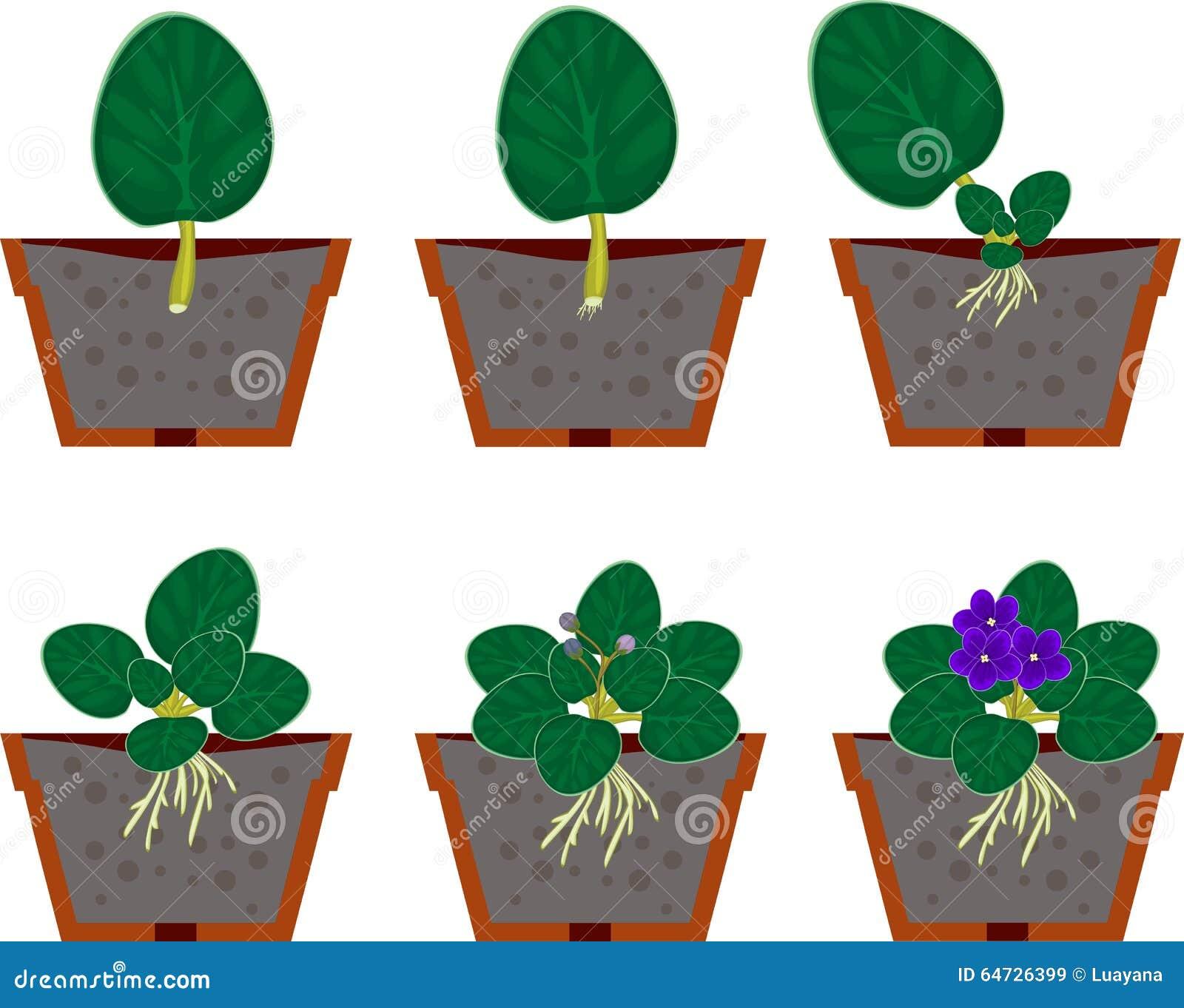 Pianta domestica africana delle viole della riproduzione vegetativa (saintpaulia)