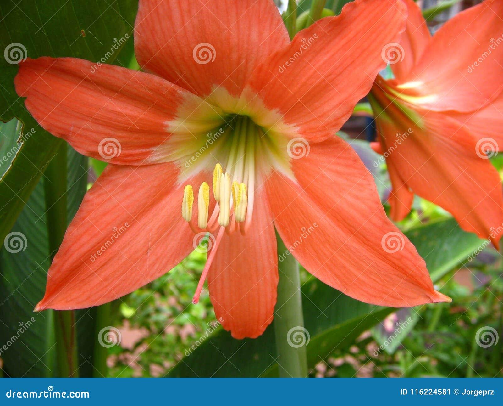 Pianta Fiori Arancioni.Pianta E Fiore Arancio Del Giglio Immagine Stock Immagine Di