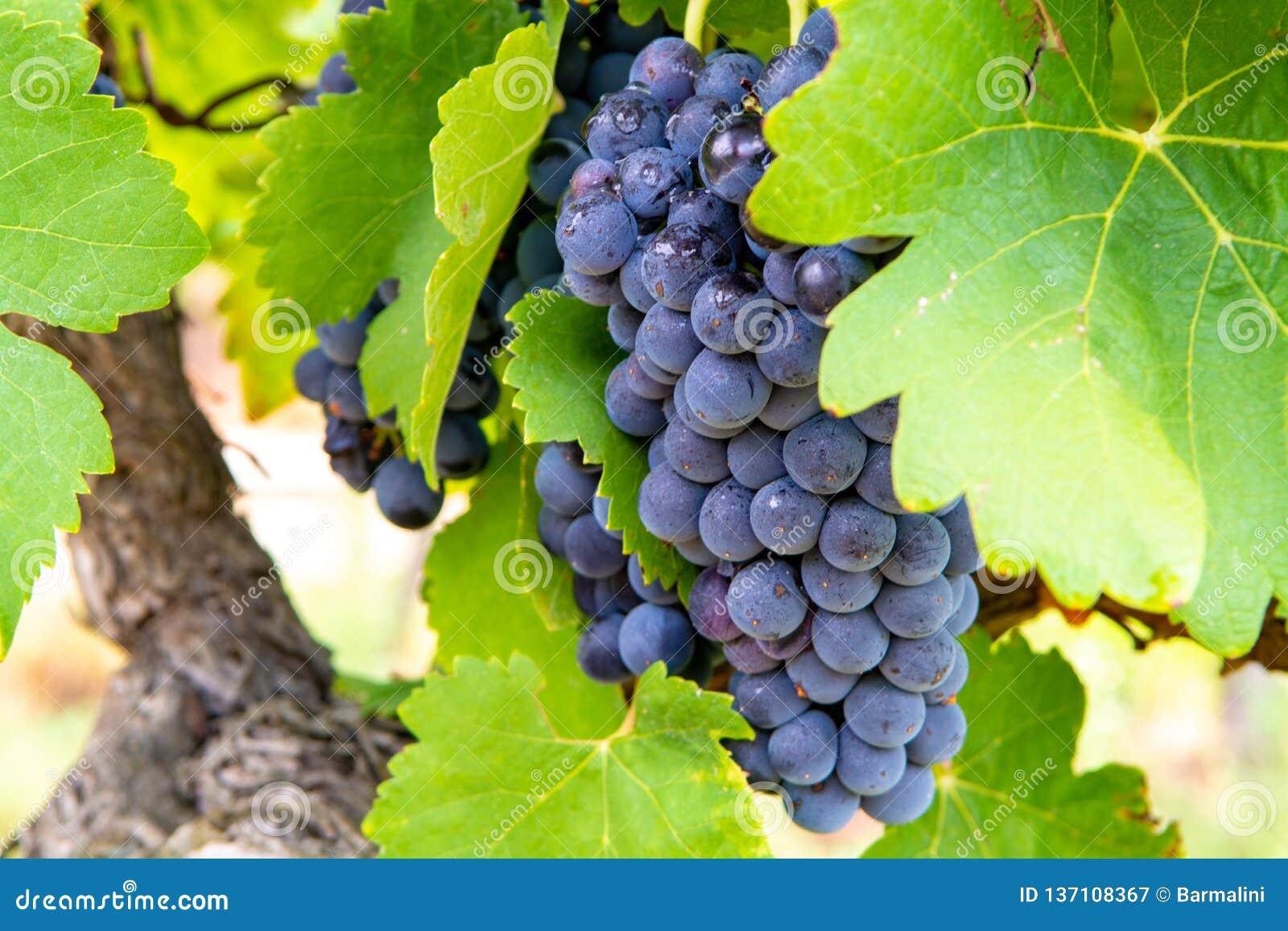 Pianta francese del vino rosato e rossa dell uva, primo nuovo raccolto dell acino d uva dominio o castello nel AOP di Costieres,