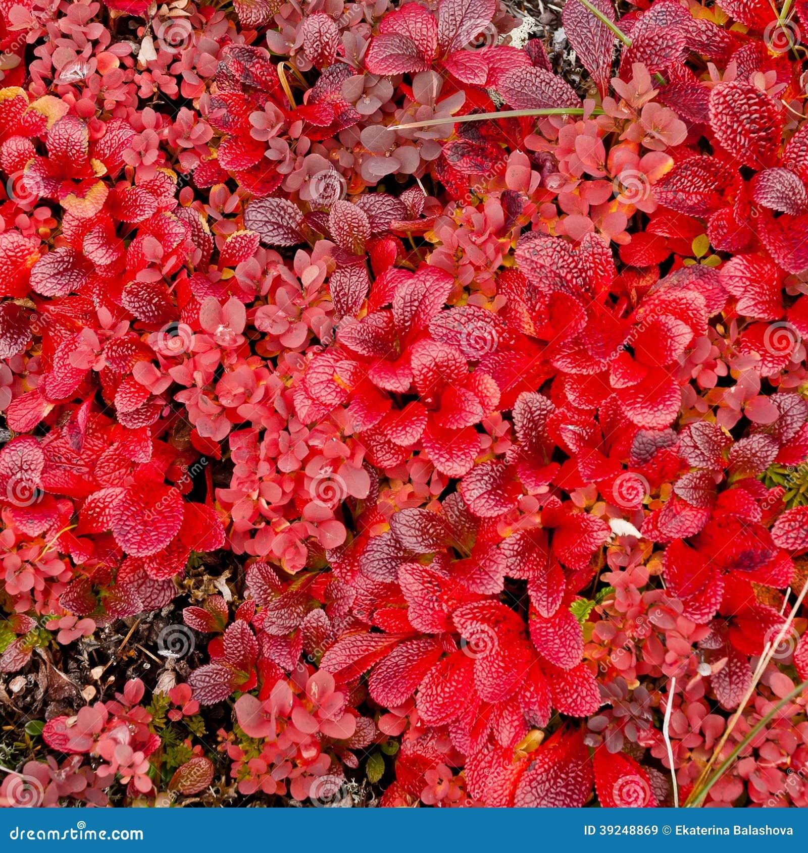 pianta nana con le foglie rosse fotografia stock