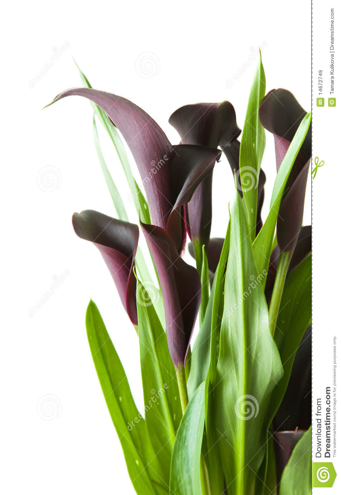 Pianta nera viola scura del giglio di calla immagine for Calla pianta