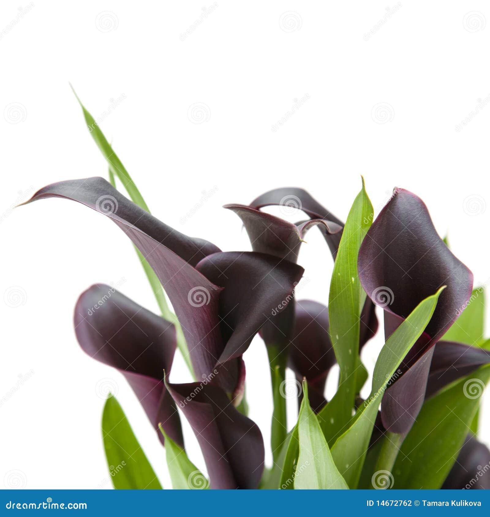 Pianta nera viola scura del giglio di calla fotografia for Calla pianta