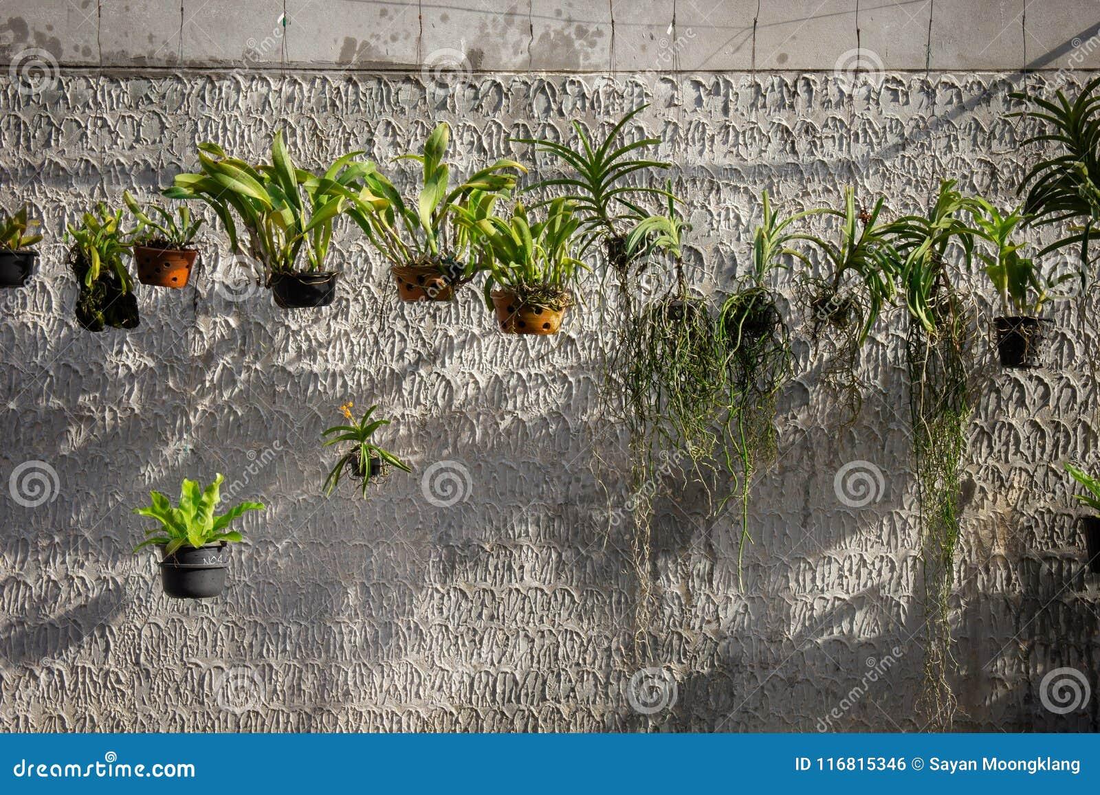 Pianta ornamentale sviluppata in un vaso d attaccatura accanto al vecchio muro di cemento