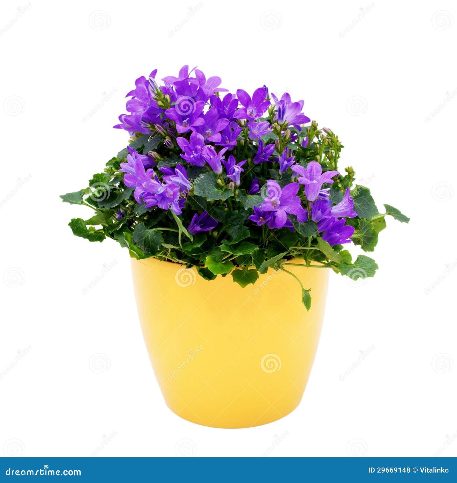 Pianta porpora della casa campanula in un vaso giallo for Creatore della pianta della casa