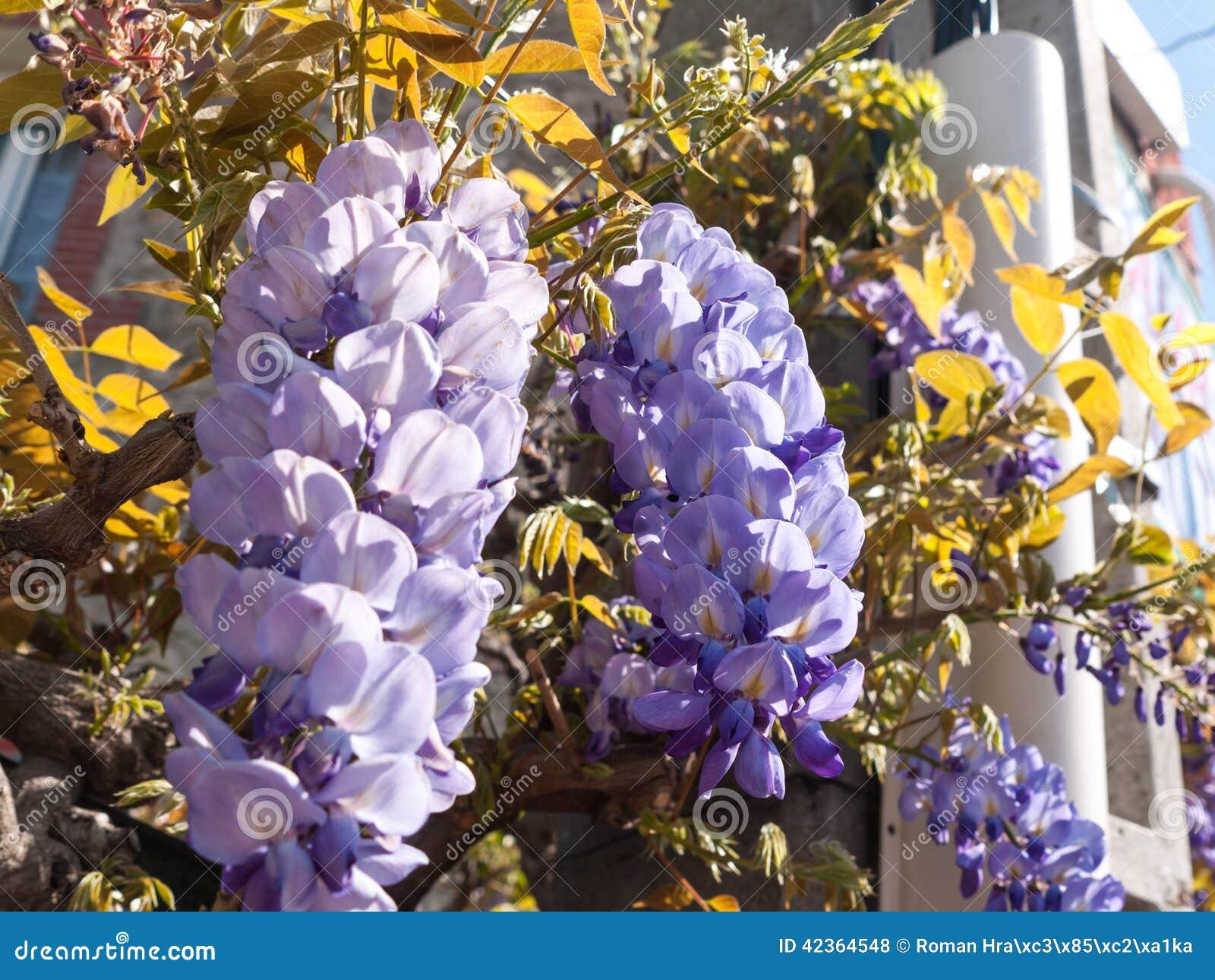 Pianta porpora di glicine fotografia stock immagine for Pianta di more