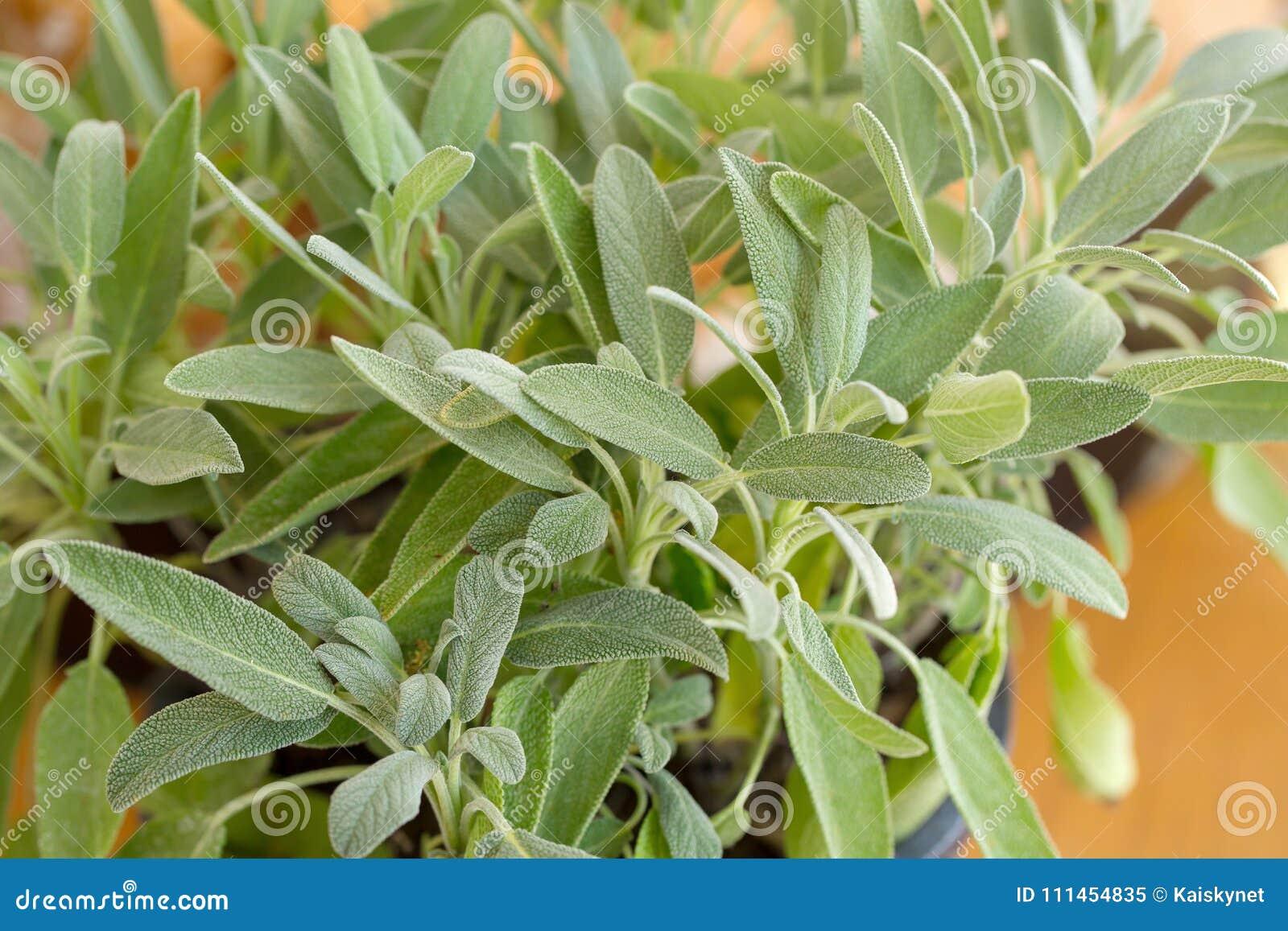Pianta prudente, salvia nel giardino di erbe
