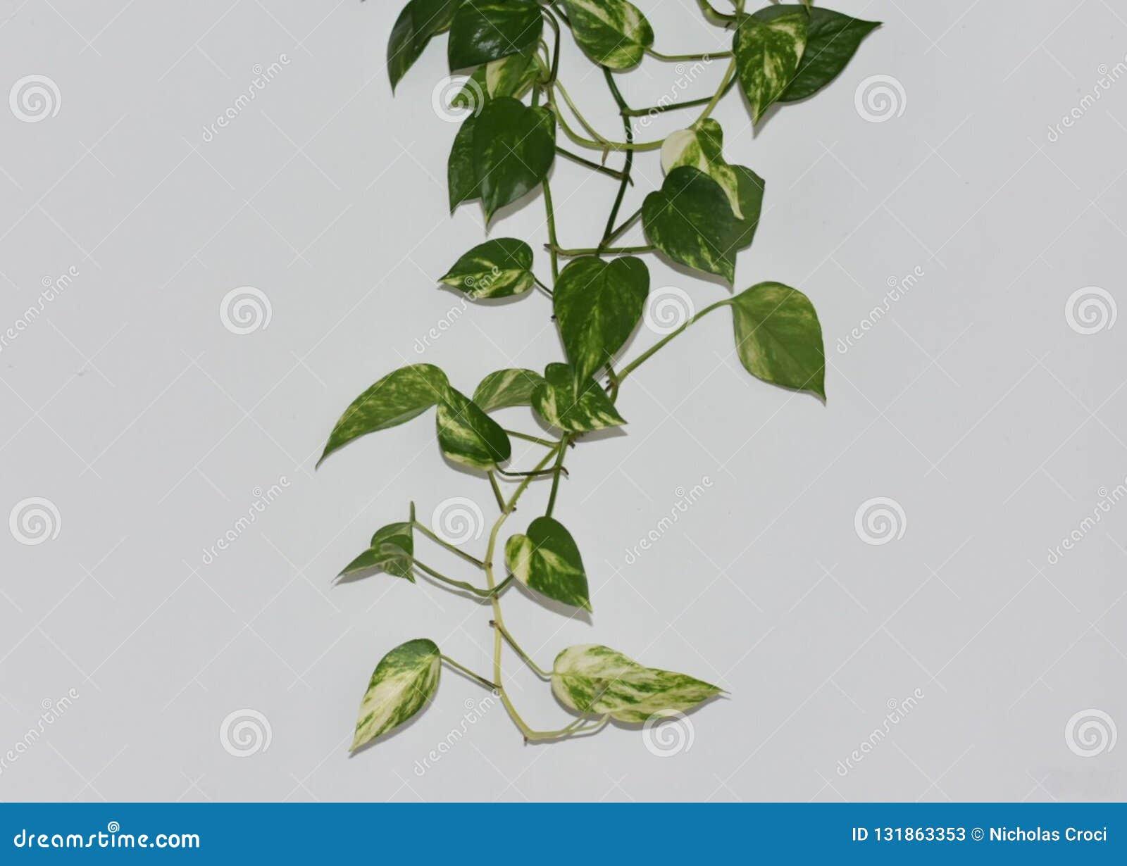 Piante Rampicanti Da Interno pianta rampicante dall'interno della casa immagine stock