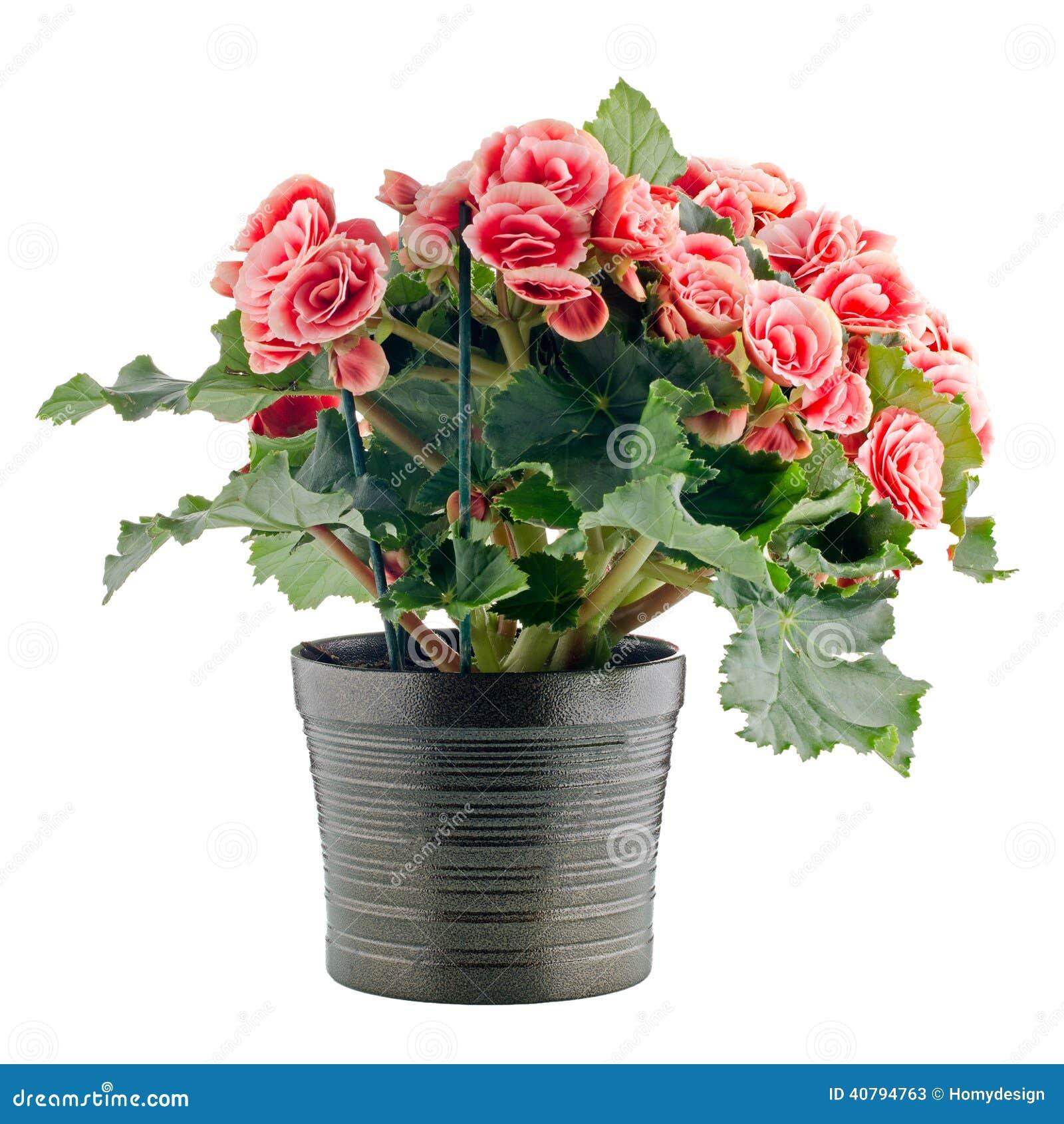 Pianta rosa della begonia immagine stock immagine di for Begonia pianta