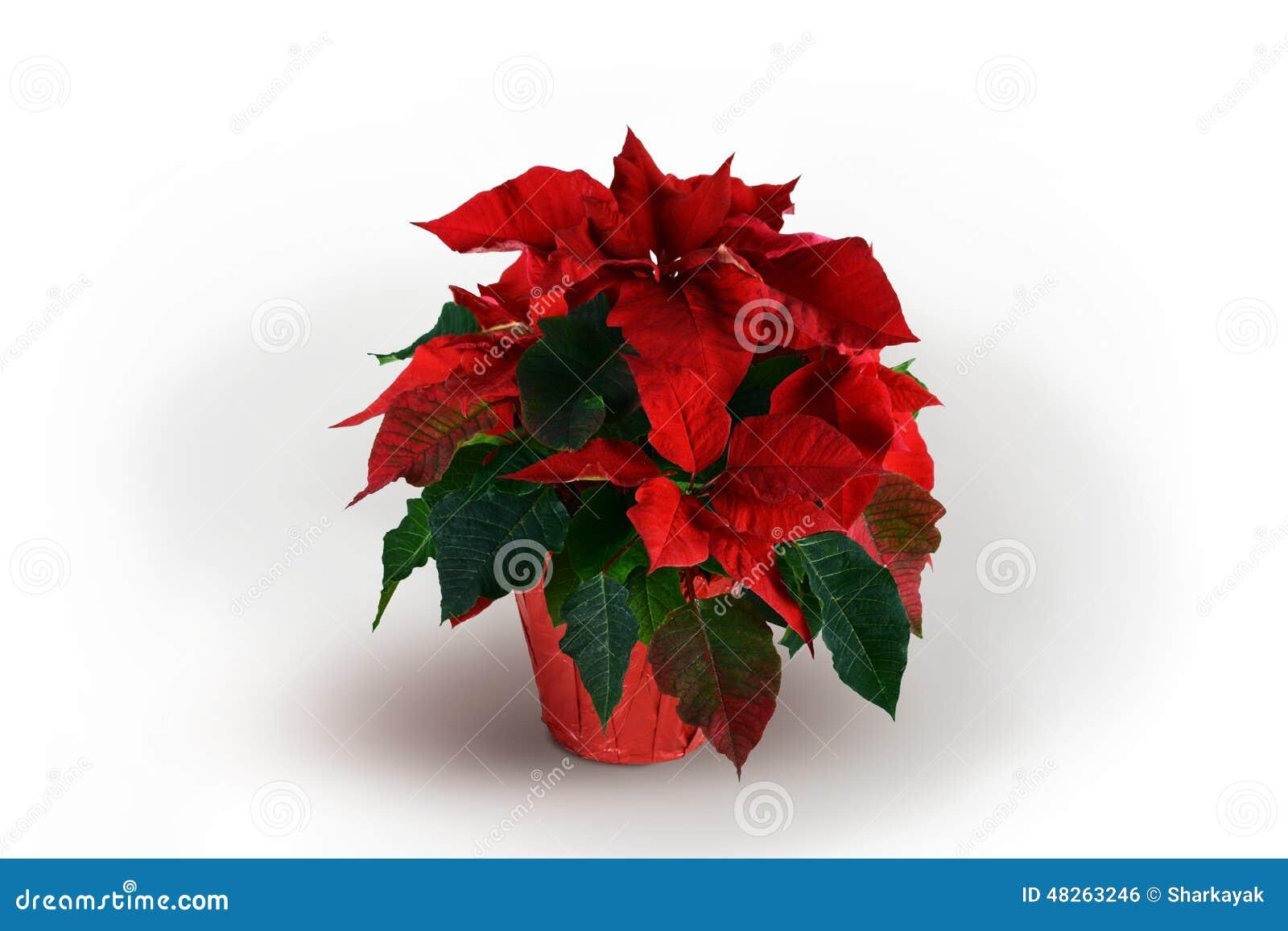 Pianta rossa e verde della stella di natale su fondo for Pianta da pavimento verde