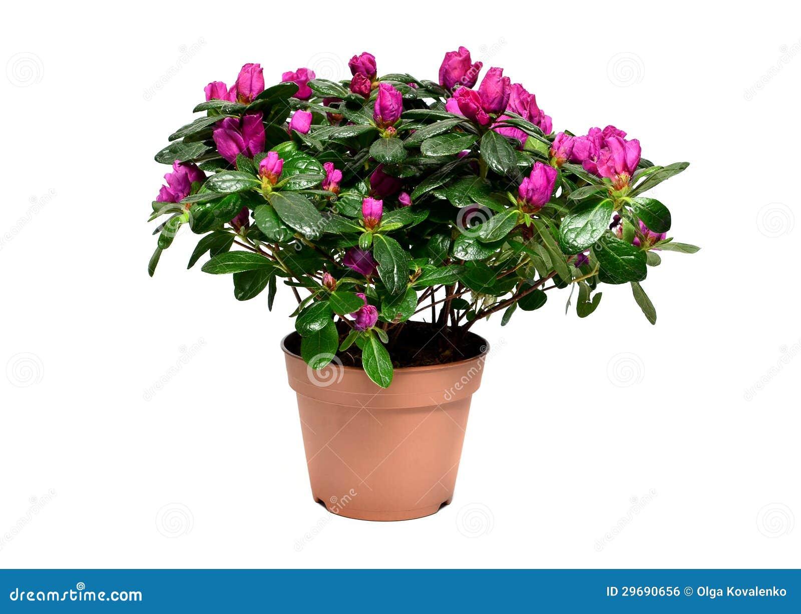 Pianta sbocciante dell 39 azalea in vaso da fiori fotografia - Fiori da vaso perenni ...