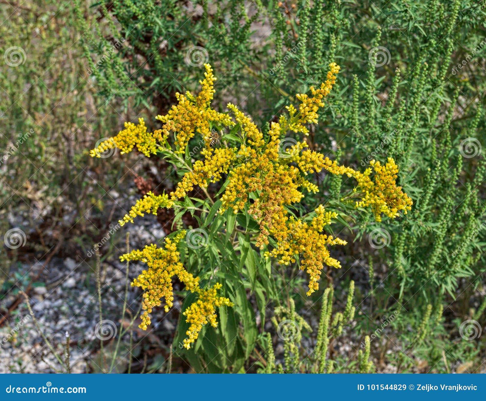 Pianta selvatica che fiorisce con l abbondanza di fiori gialli