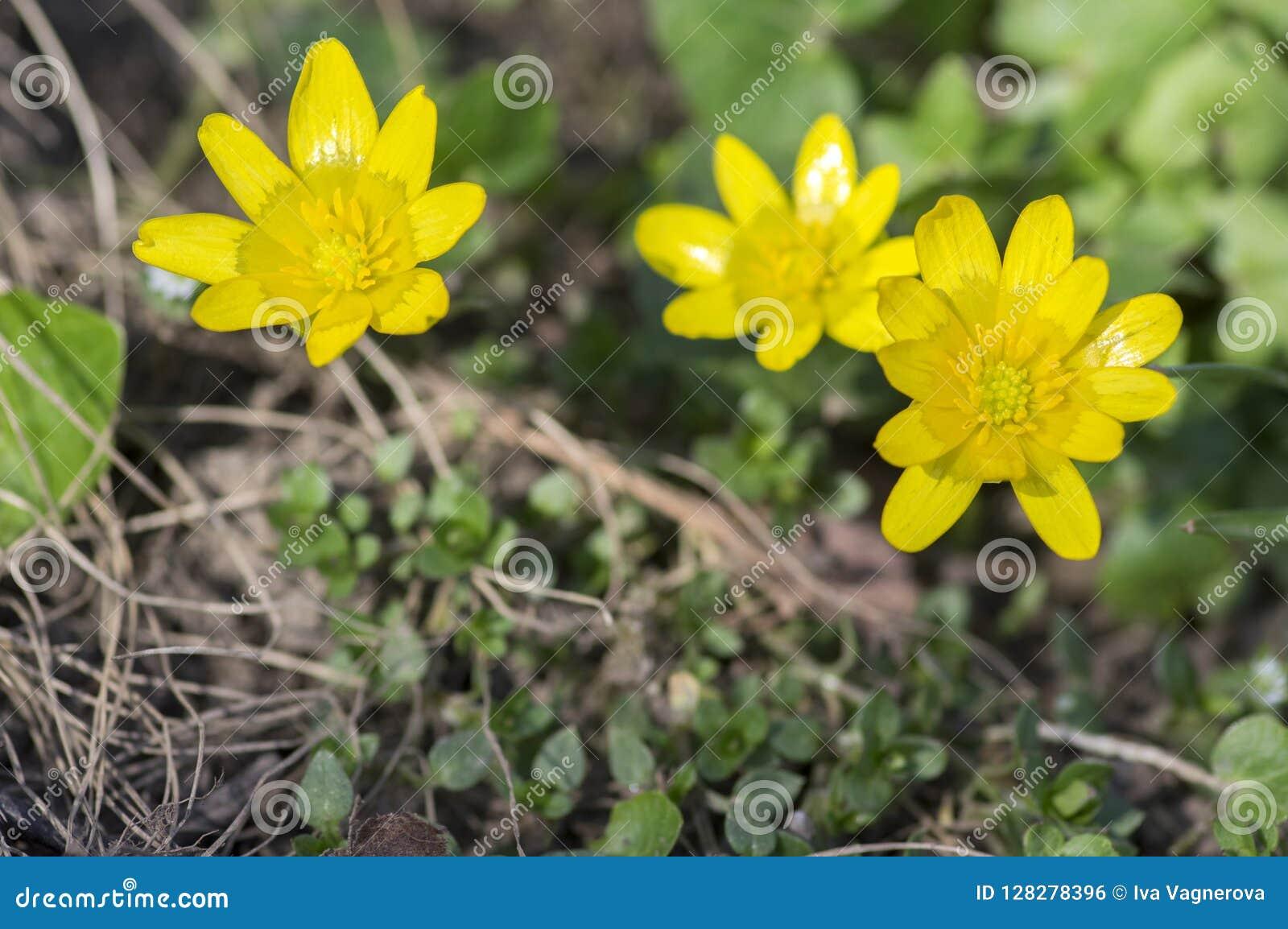 Pianta Fiori Gialli Primavera.Pianta Selvatica Di Verna Di Ficaria Che Fiorisce Nelle Foreste