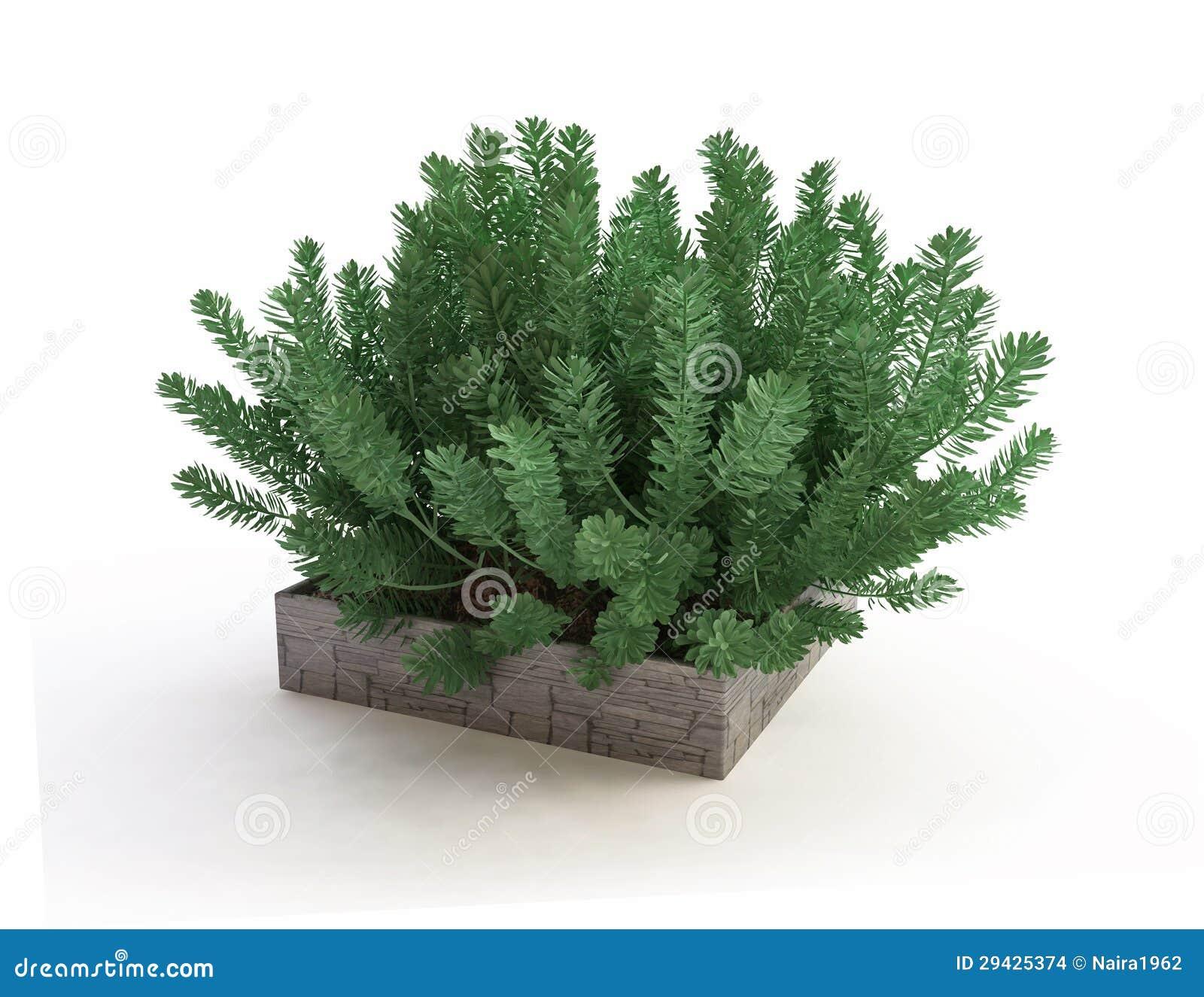 Pianta sempreverde della camera in vaso di pietra immagini - Sempreverde da giardino ...
