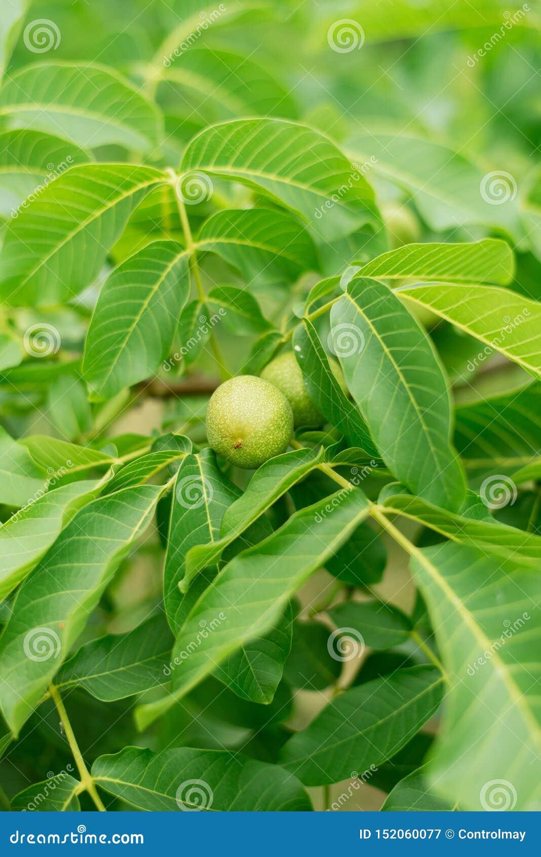 Pianta sottile verde delle foglie di palma che cresce nelle piante selvatiche e tropicali della foresta, colore astratto delle vi