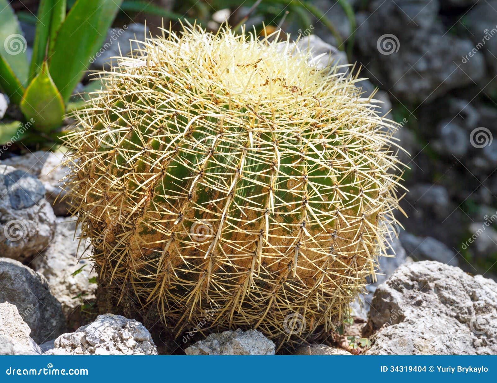 Pianta spinosa del cactus fotografia stock immagine di for Pianta cactus