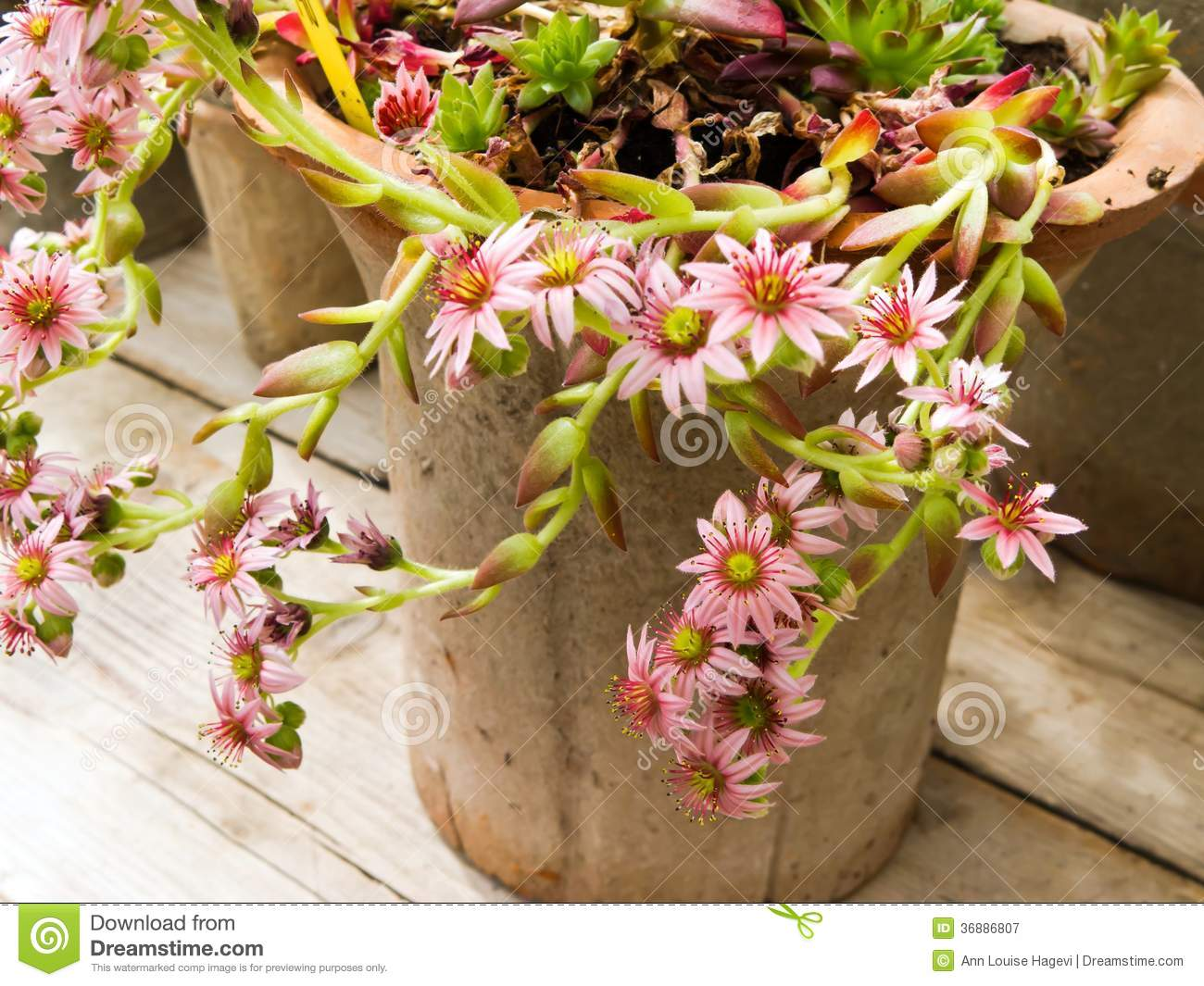 Download Pianta succulente immagine stock. Immagine di pianta - 36886807