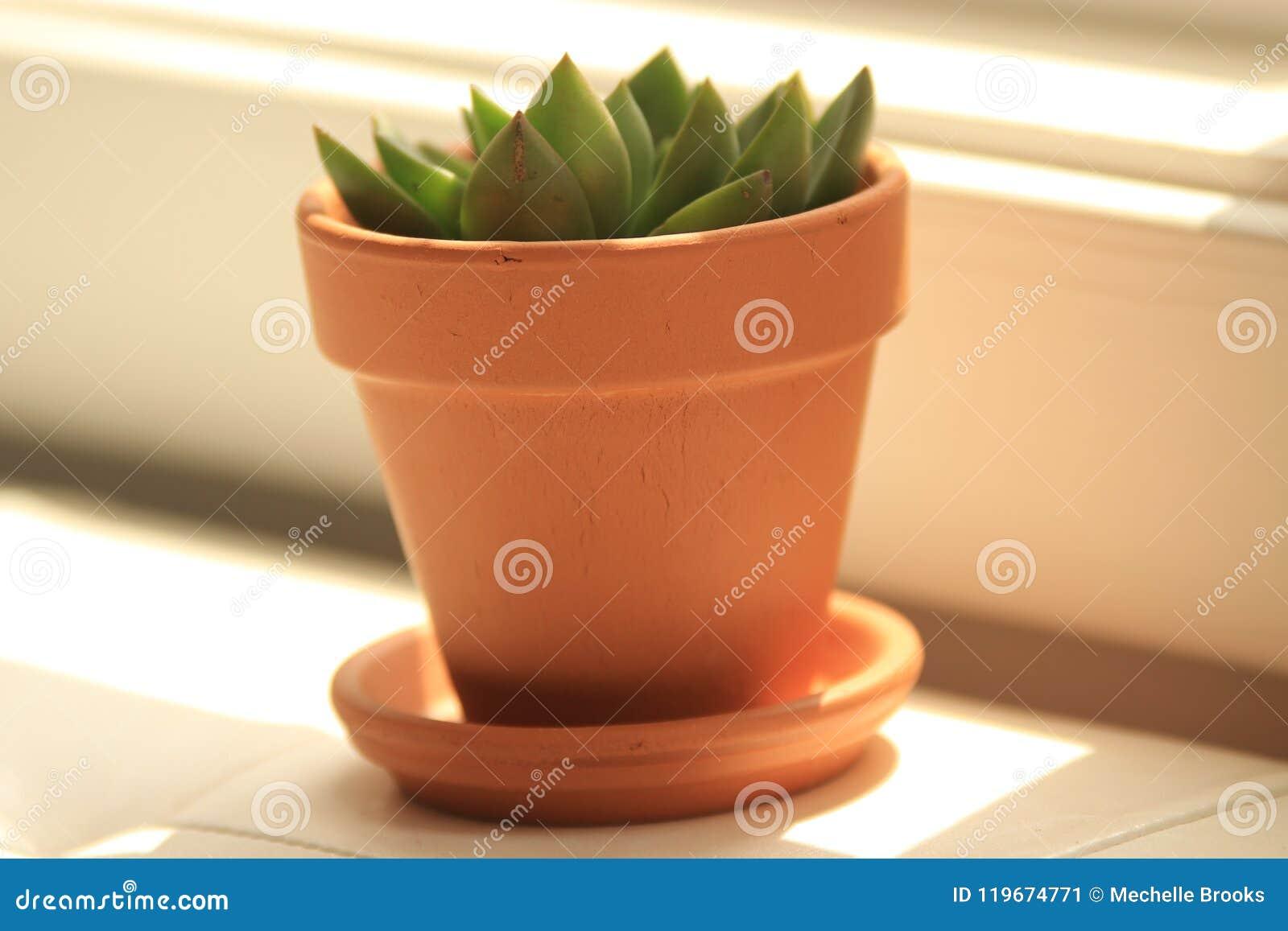 Pianta succulente nella finestra
