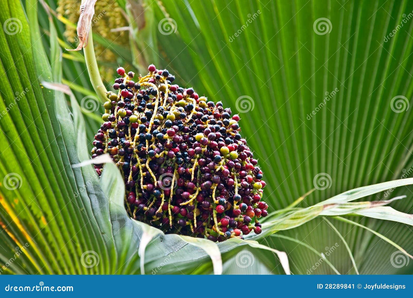 Pianta tropicale delle bacche della palma di lolou for Pianta palma