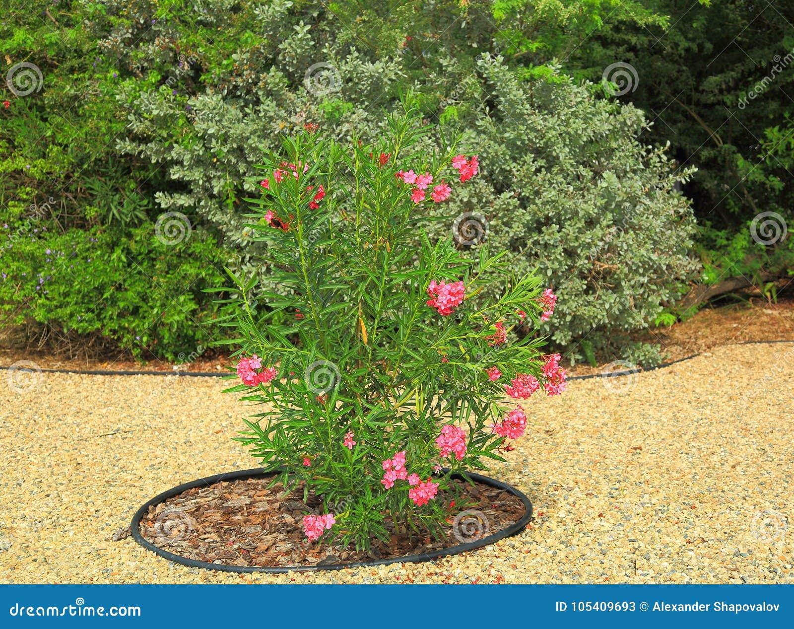 Pianta Fiori Rosa.Pianta Verde Adorabile Con I Fiori Rosa Progettazione Piacevole