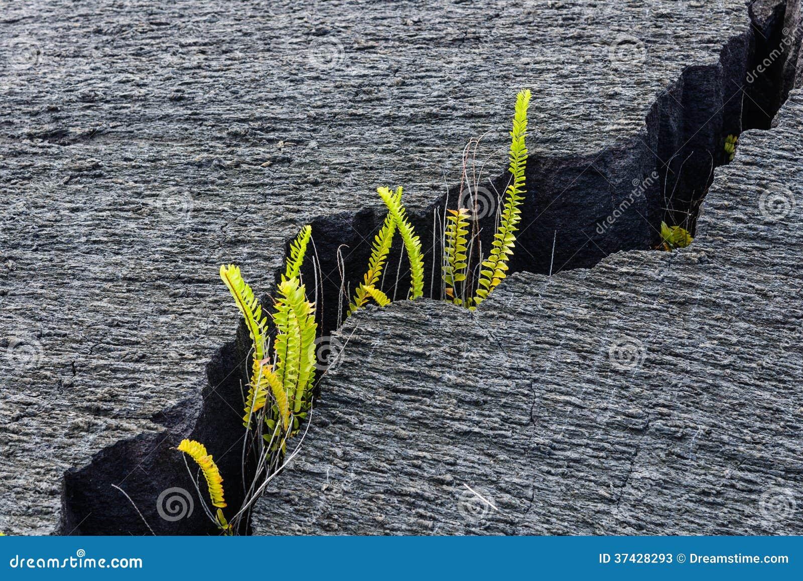 Pianta verde che cresce in una crepa in lava asciutta for Pianta da pavimento verde