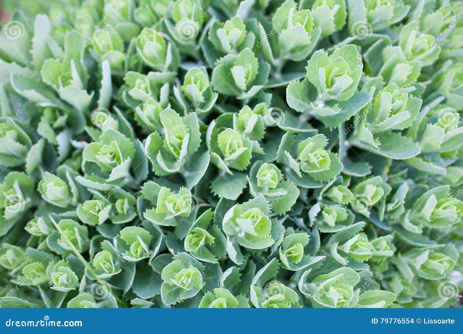 Ortensie Con Foglie Arricciate : Ortensie con foglie verde chiaro la migliore scelta di