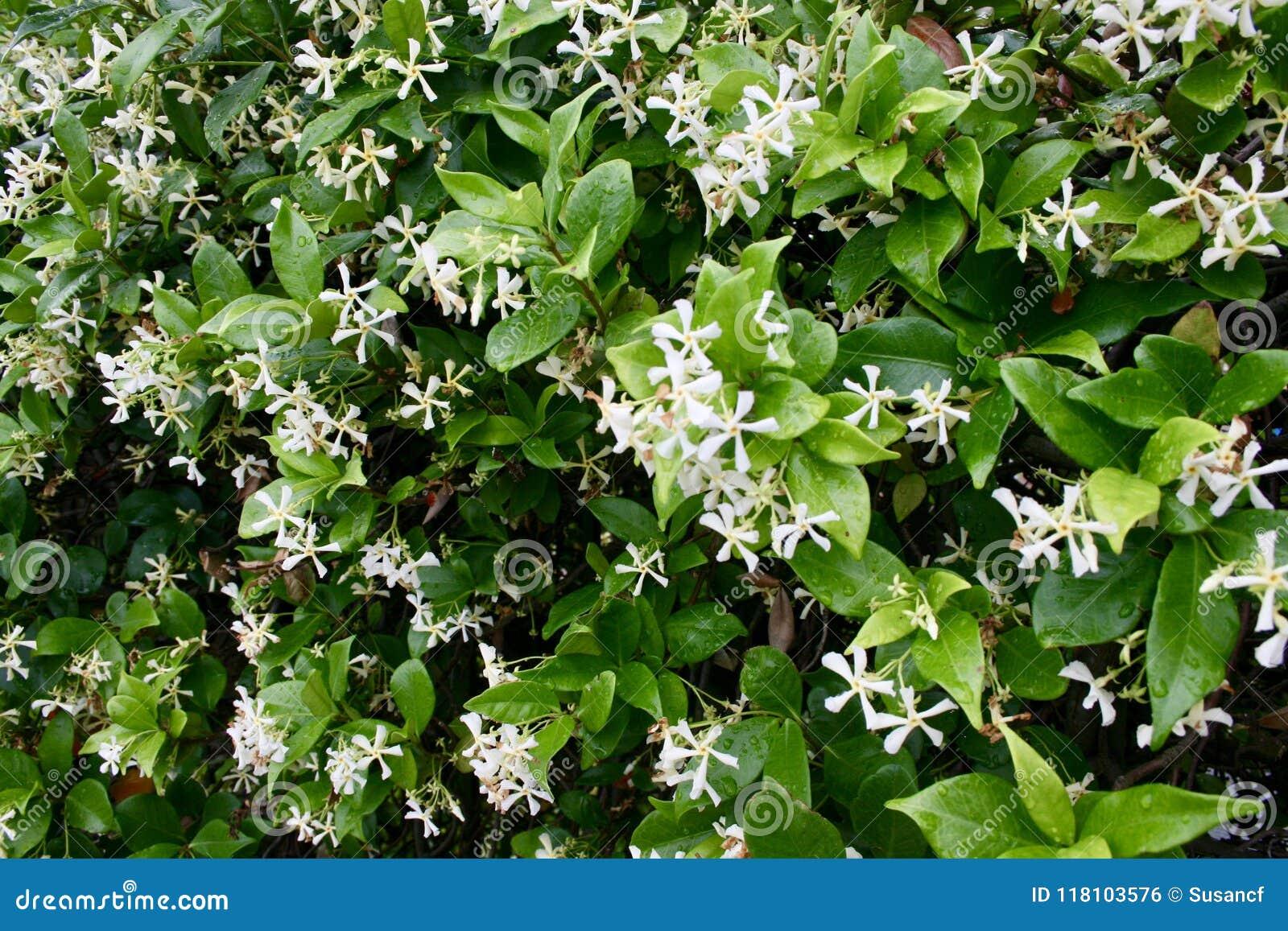 Pianta Verde Con I Fiori Bianchi Abbastanza Piccoli Fotografia Stock