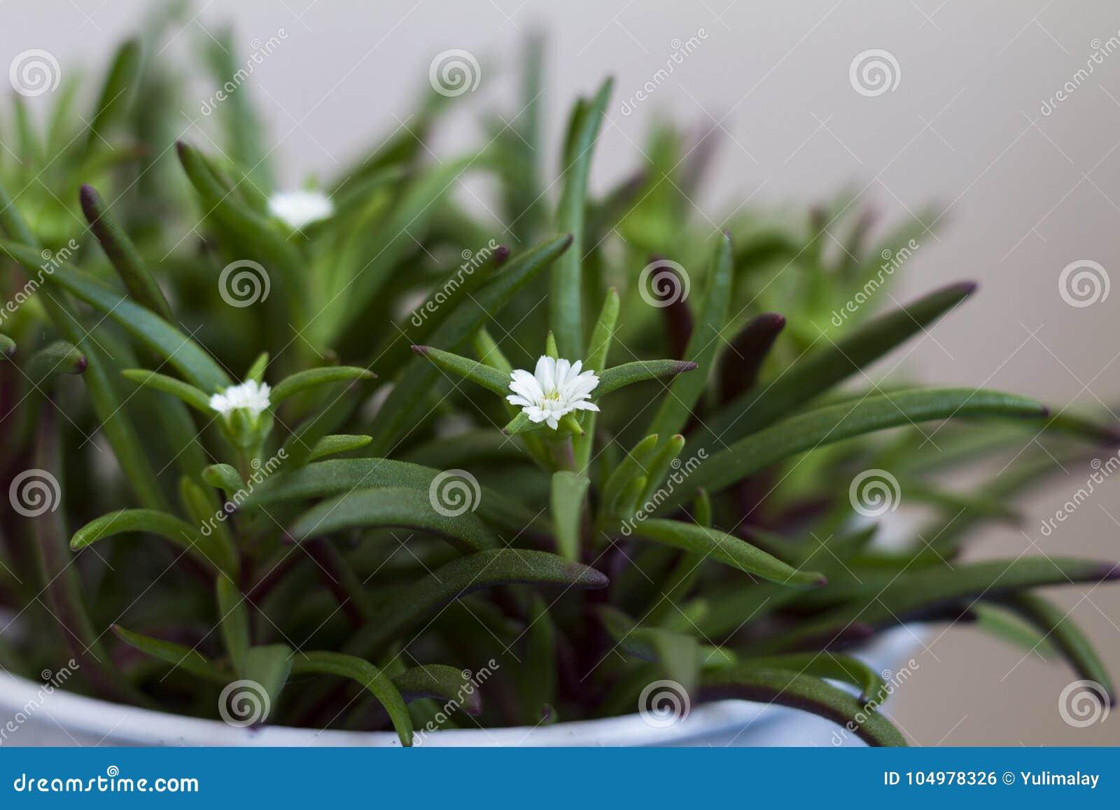 Pianta Verde Con I Piccoli Fiori Bianchi In Una Fine Del Vaso Su