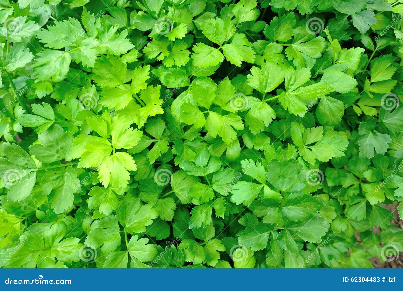 Pianta verde del sedano in orto fotografia stock for Pianta da pavimento verde