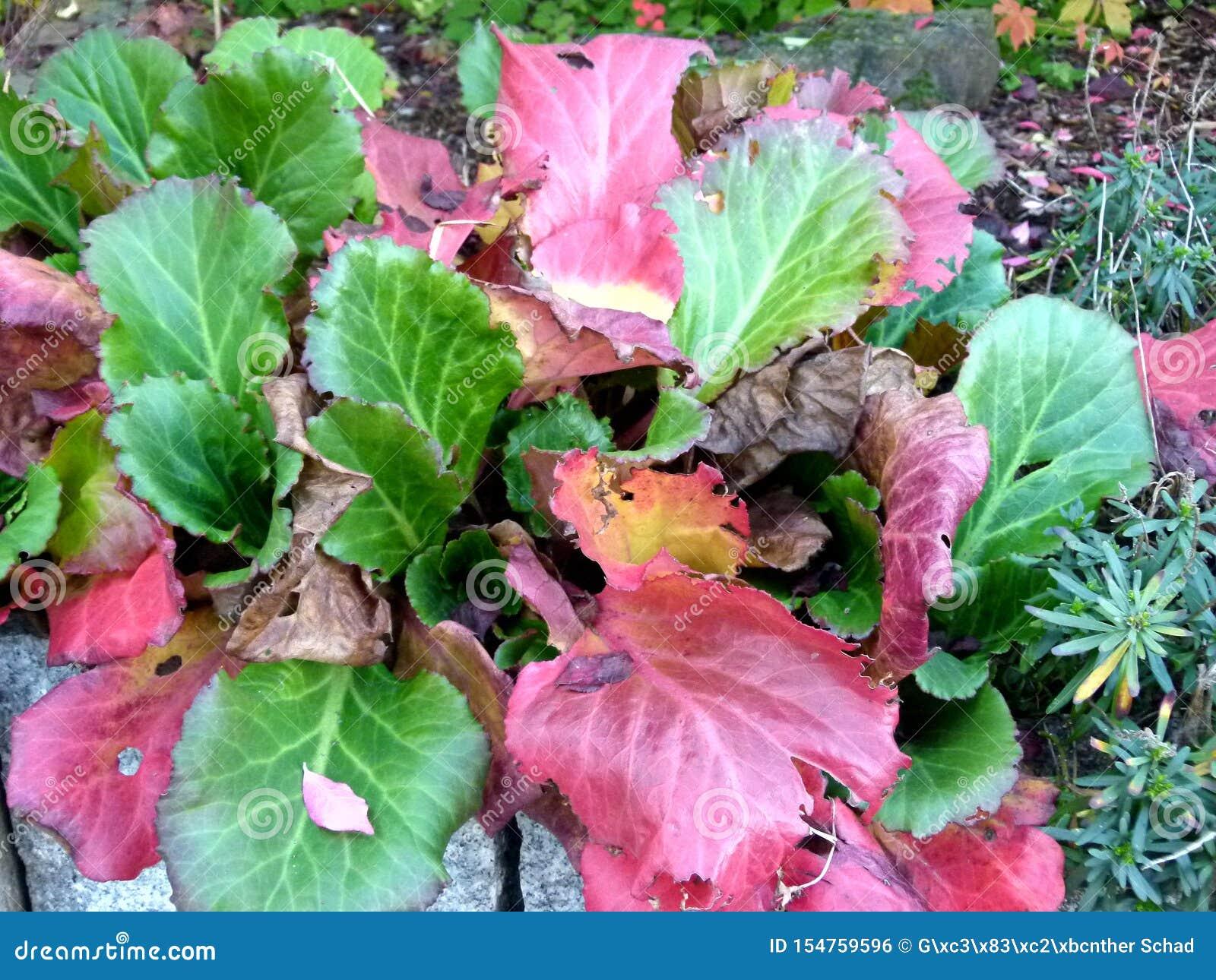 Pianta Foglie Rosse E Verdi pianta verde di autunno con le foglie brillanti rosse e
