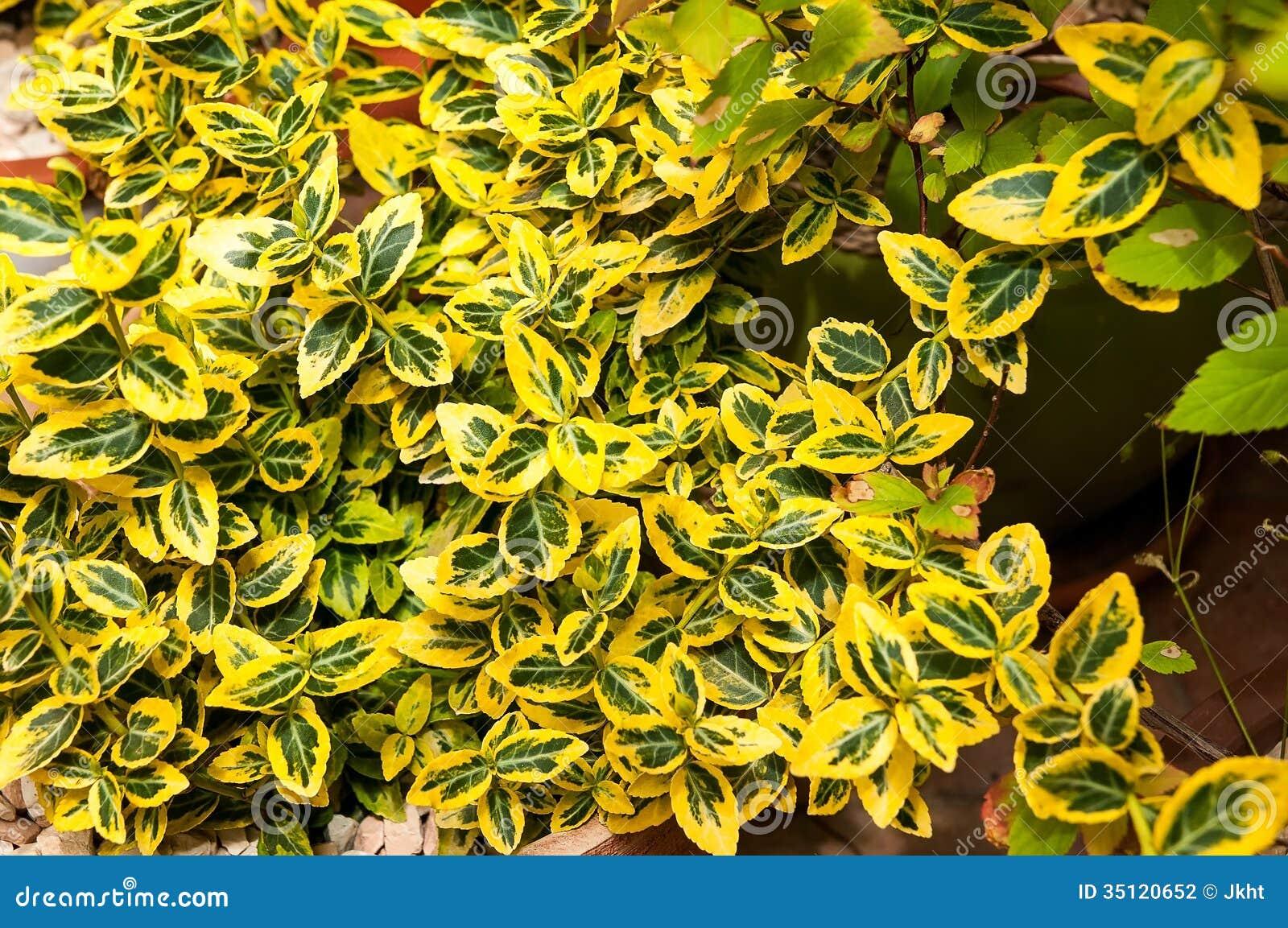 Pianta verde e gialla fotografia stock immagine di colore for Pianta da pavimento verde