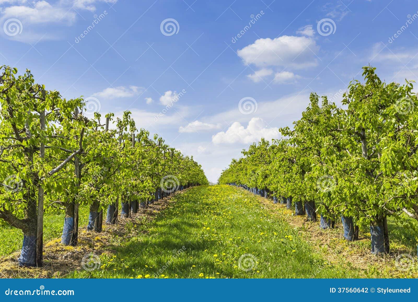 Piantagione degli alberi da frutto fotografia stock for Alberi da frutto prezzi